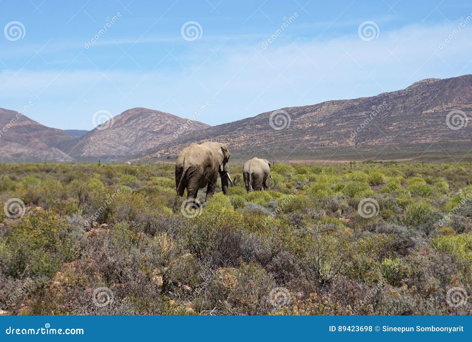 Elephats africanos que andam no fundo do prado e da montanha