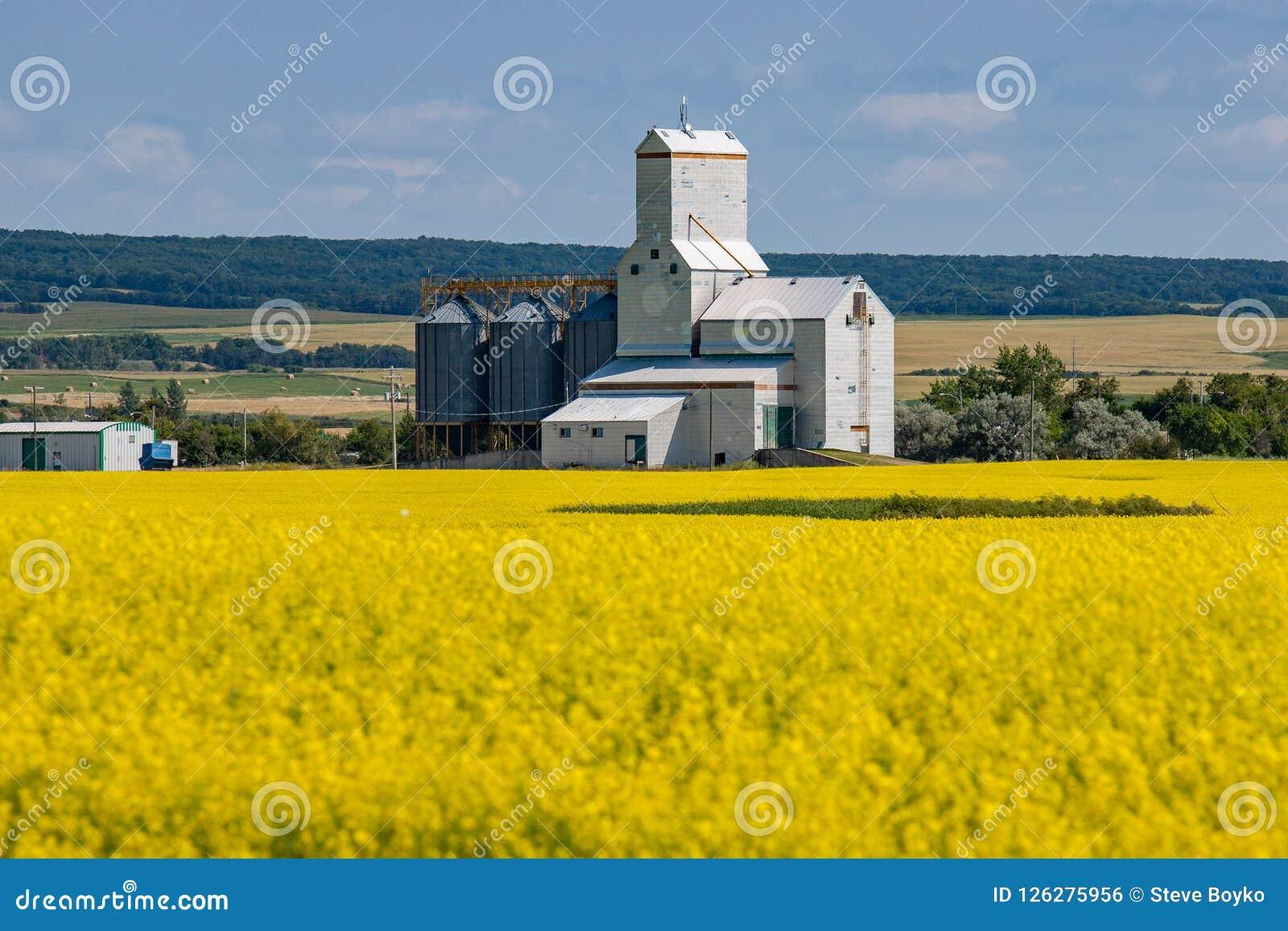 Elevador de grano detrás del campo amarillo brillante del Canola