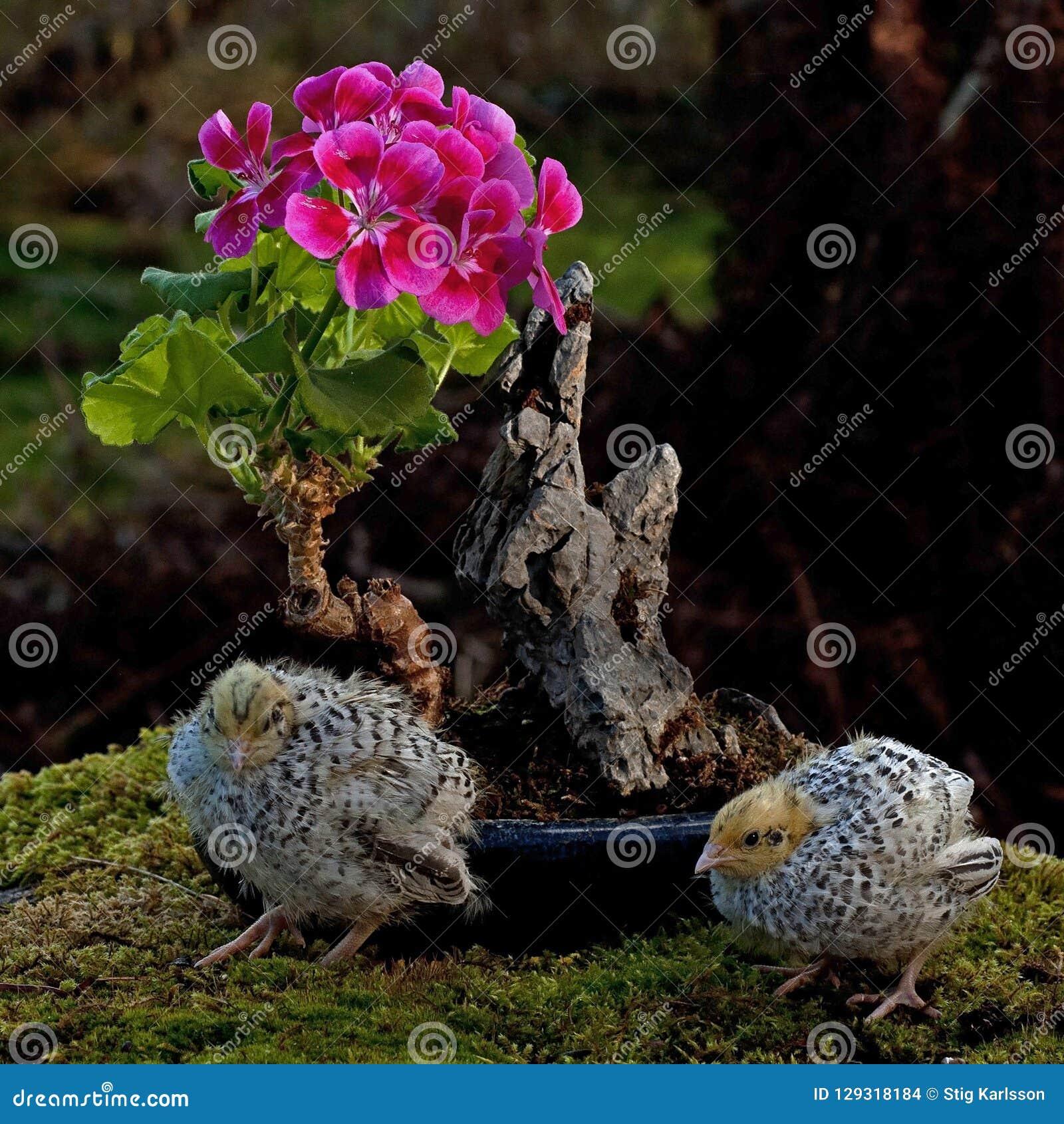 Eleven days old quail, Coturnix japonica.....near bonsai of a flowering geranium