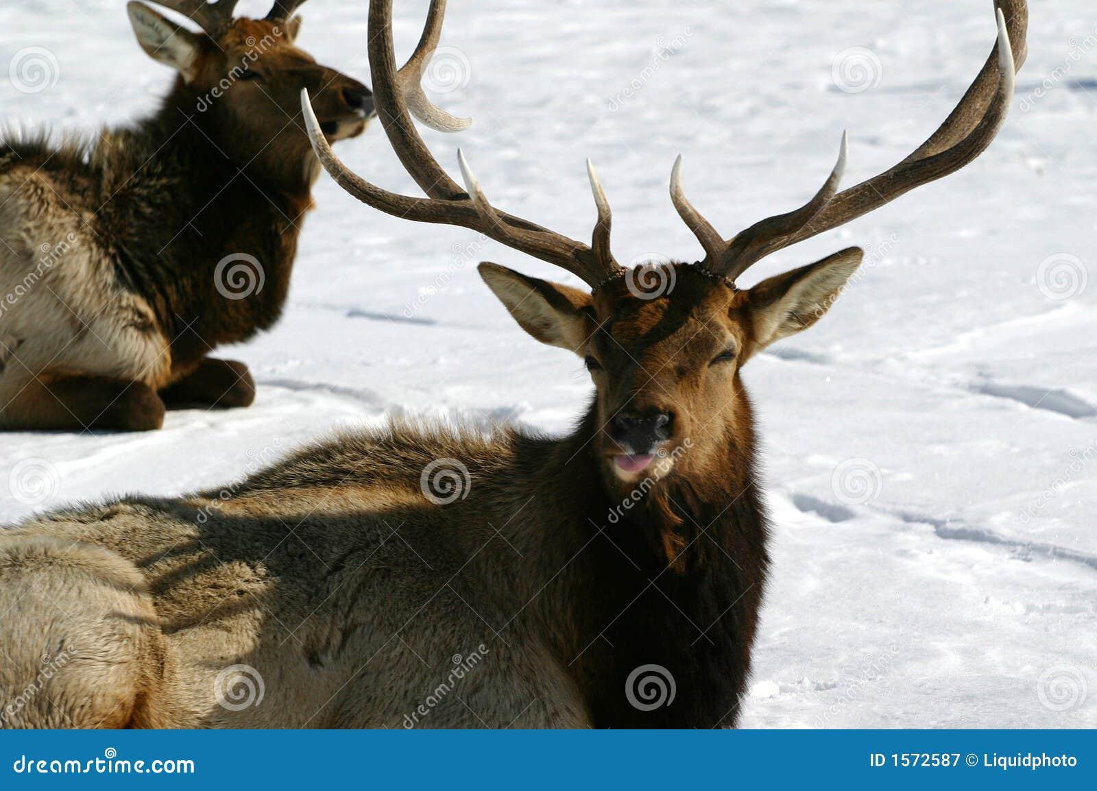 Elk Bull Pfft