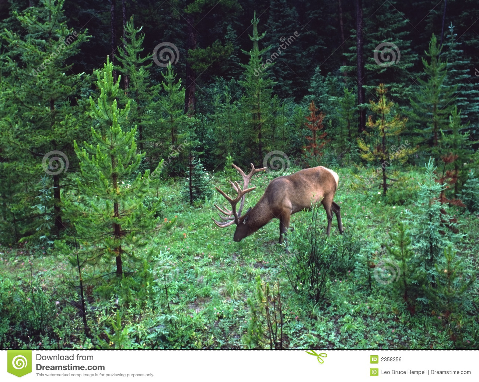 Elk, Kananaskis Country, Alberta, Canada Royalty Free Stock Image ...