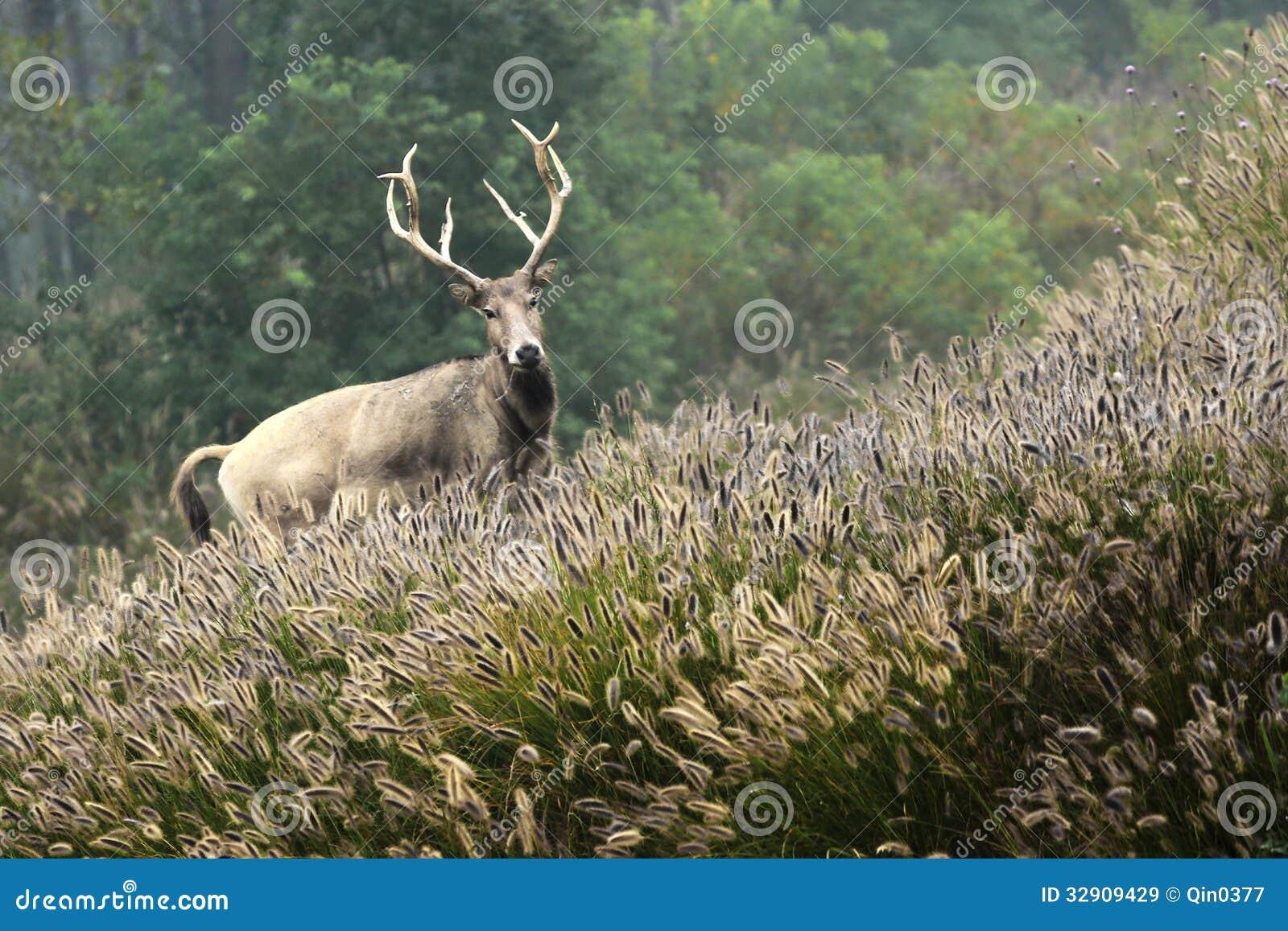 Elk (scientific name: Elaphurus davidianus)