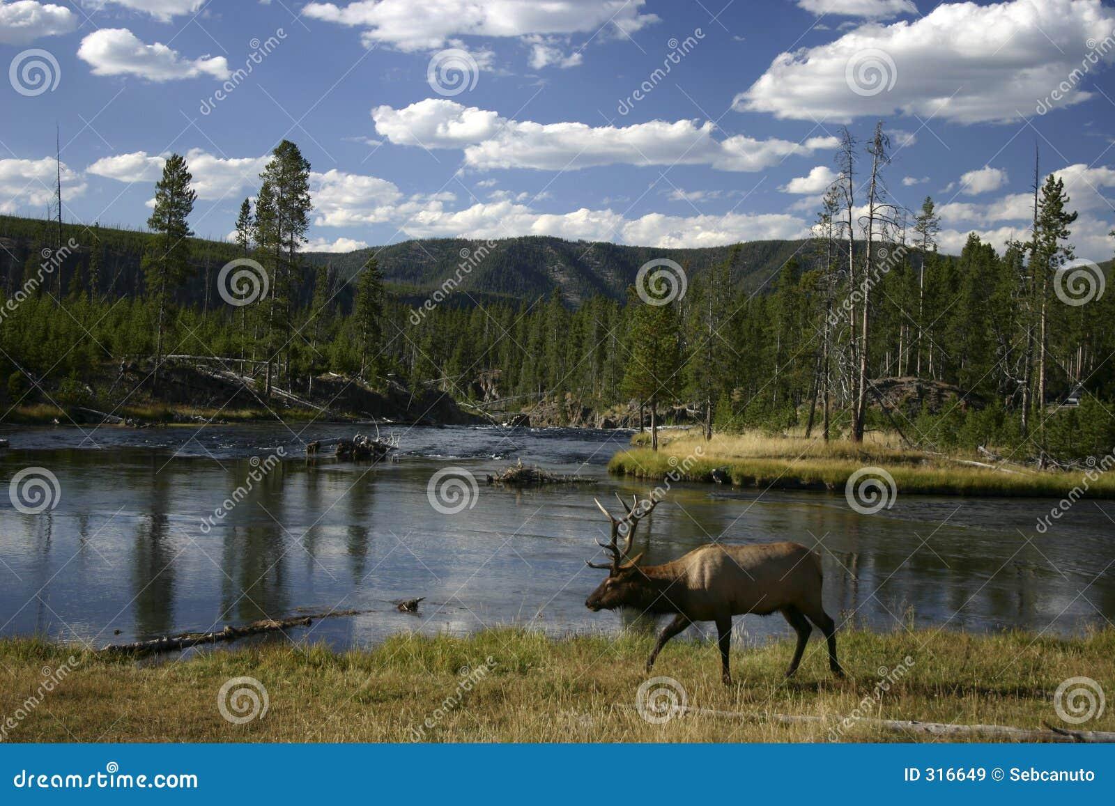 Elk walking along a river