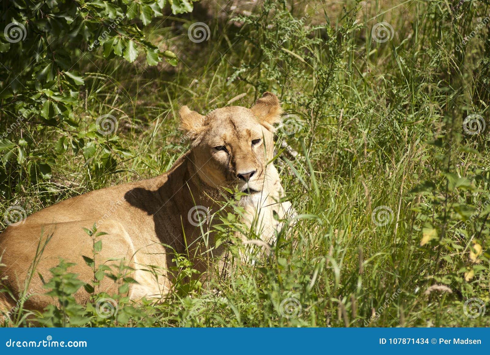 Ella león