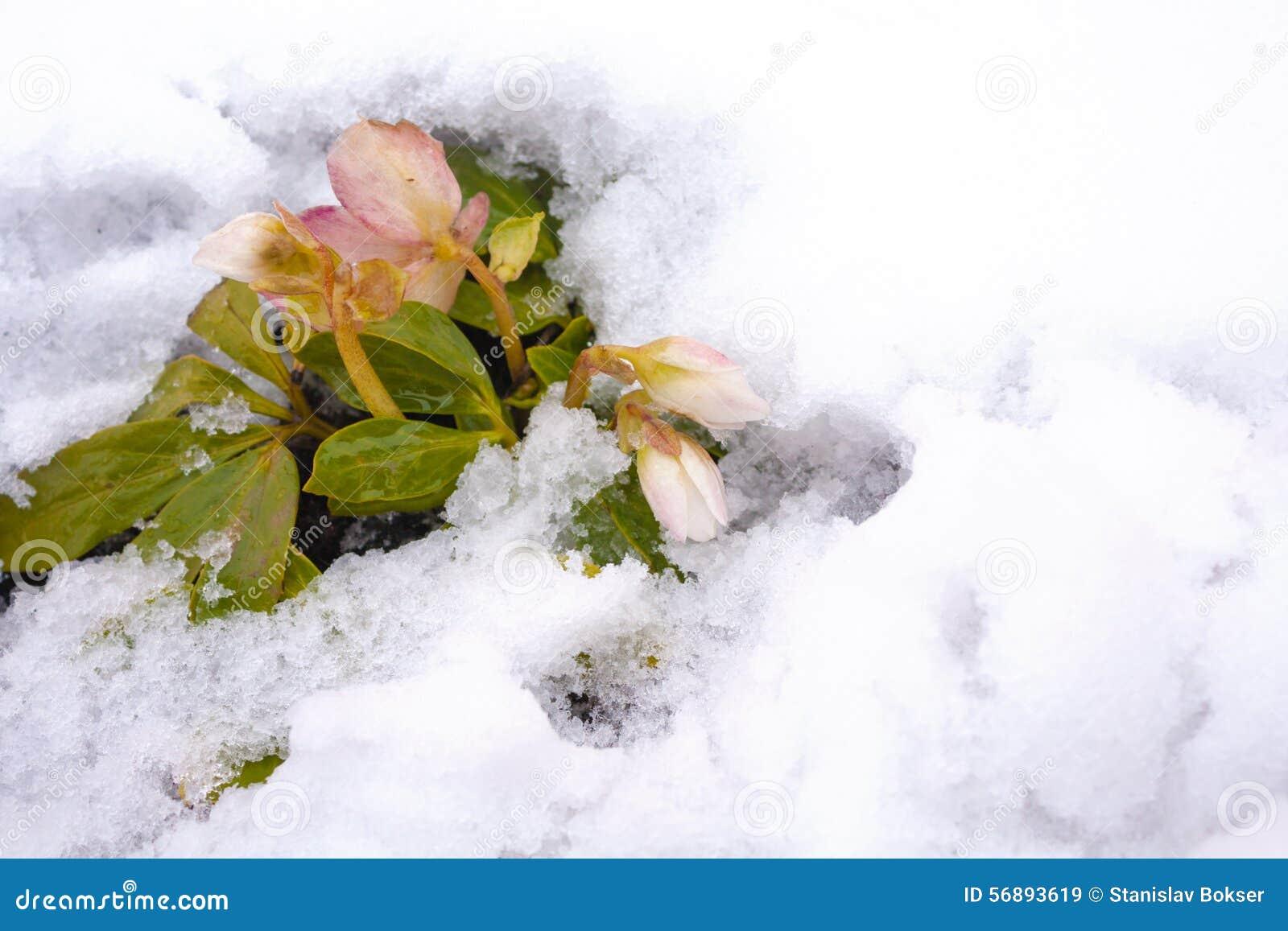 Elleboro bianco e rosa del fiore immagine stock immagine for Elleboro bianco