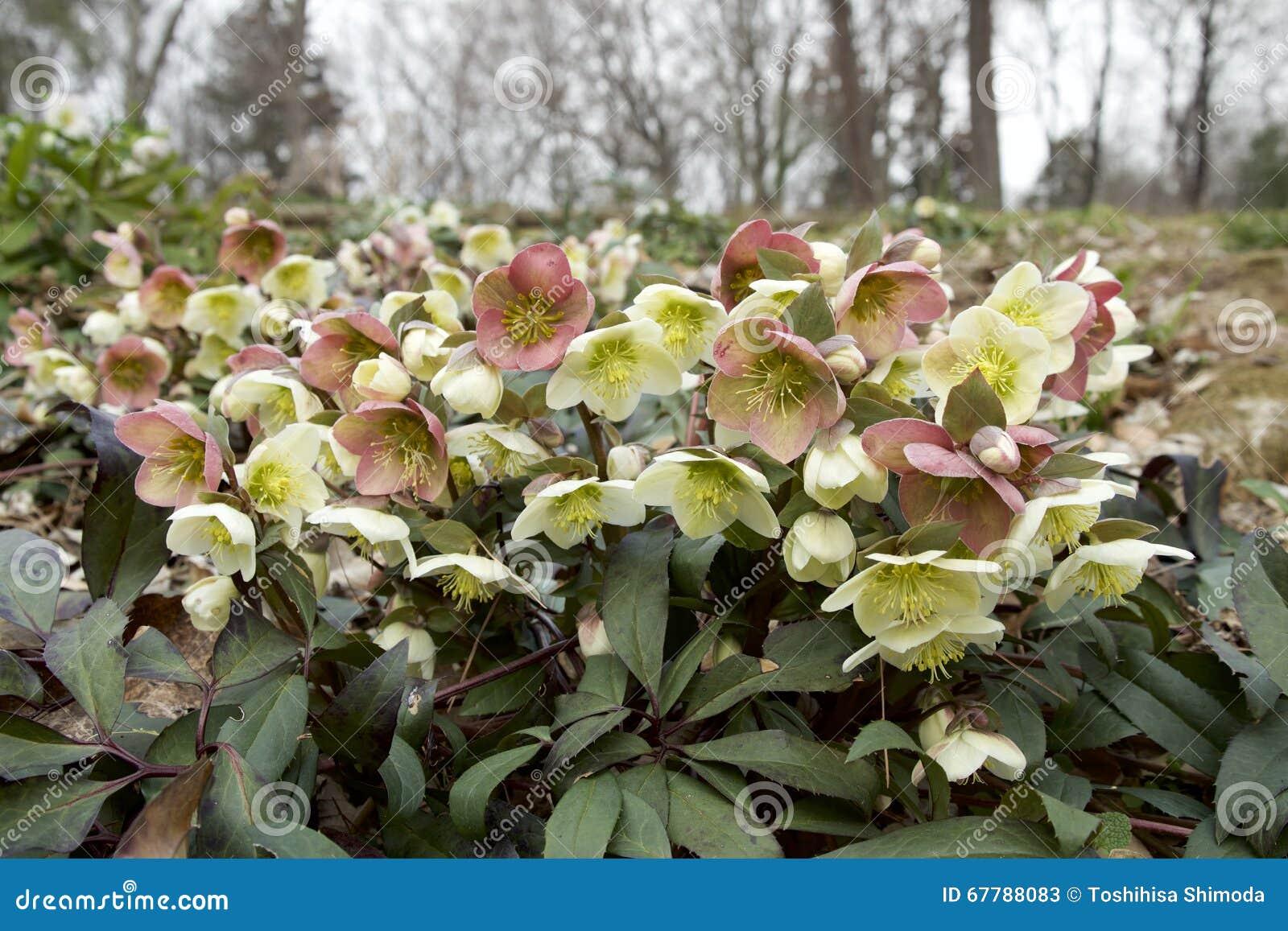 Elleboro bianco e rosso immagine stock immagine di for Elleboro bianco