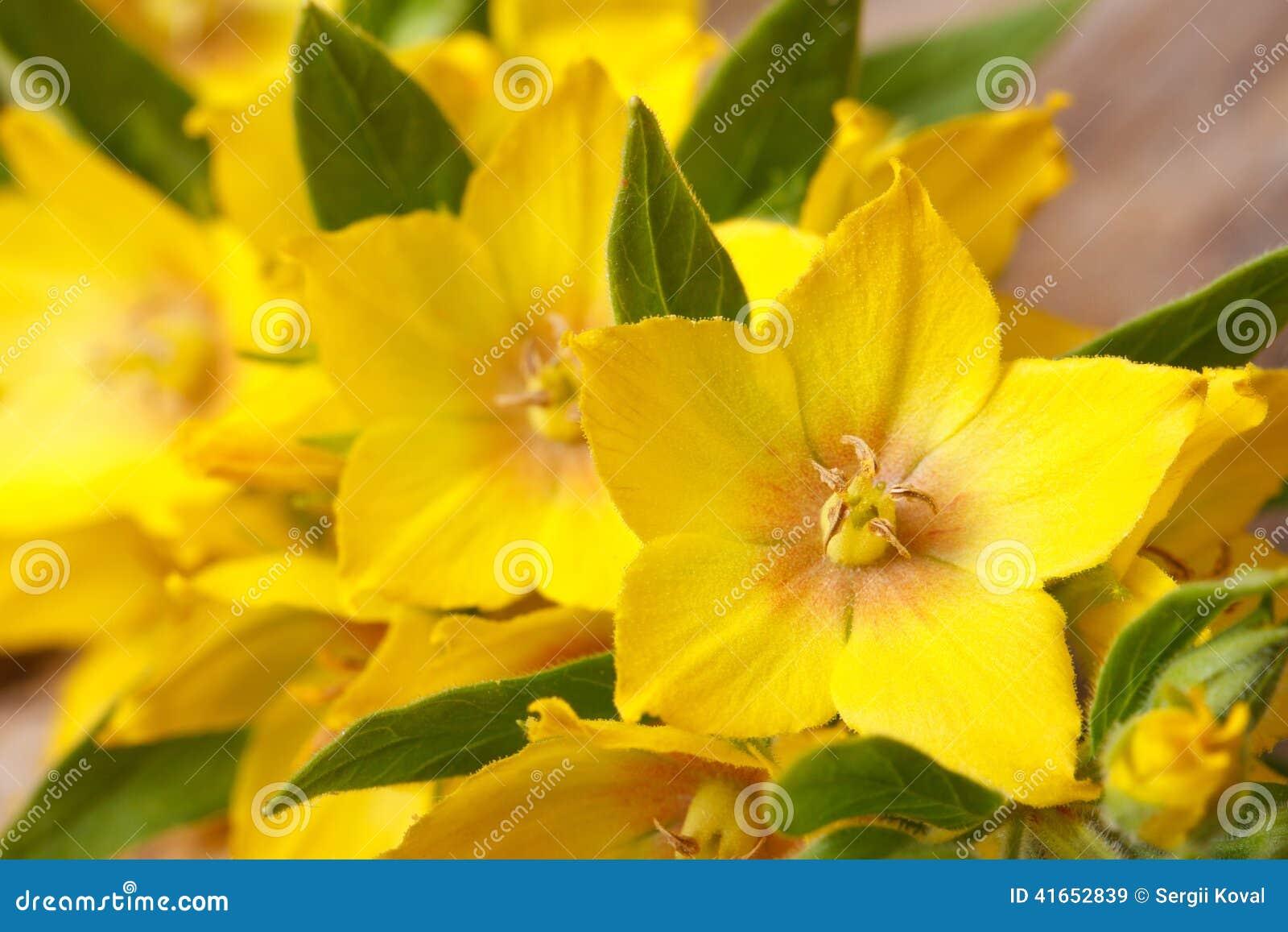 Ellow цветет макрос punctata Lysimachia горизонтальный