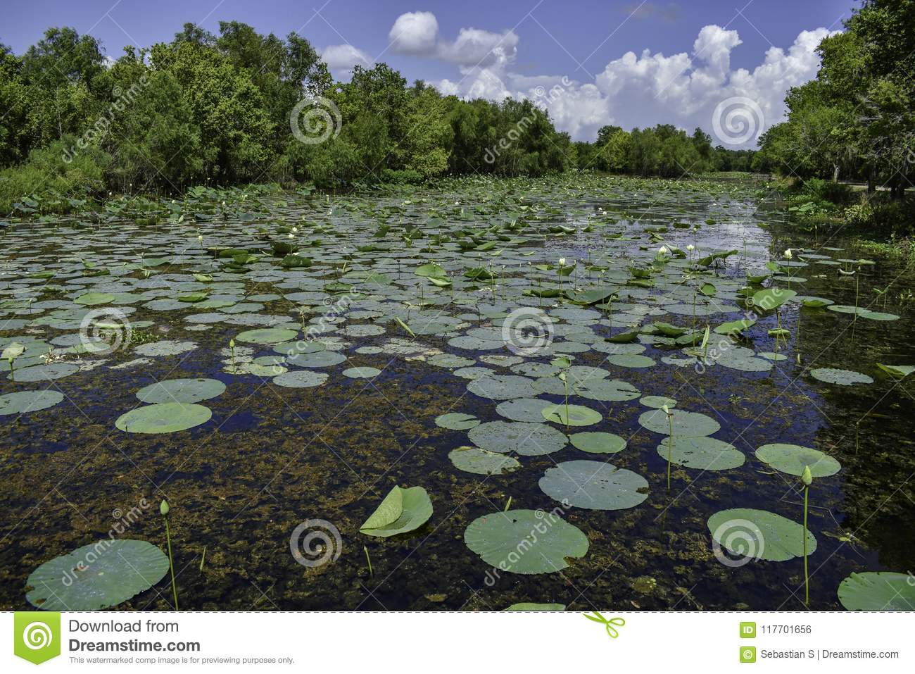 Lily Pads in Elm Lake at Brazos Bend State Park