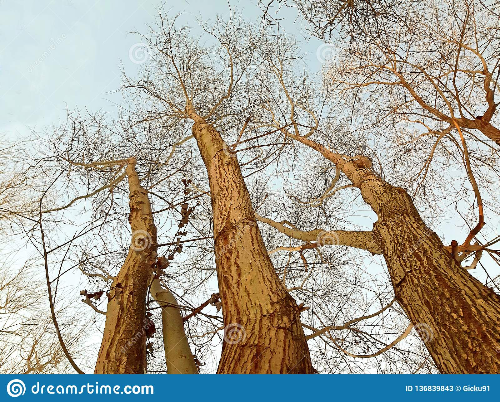 Elm trees, branches on clear sky in winter
