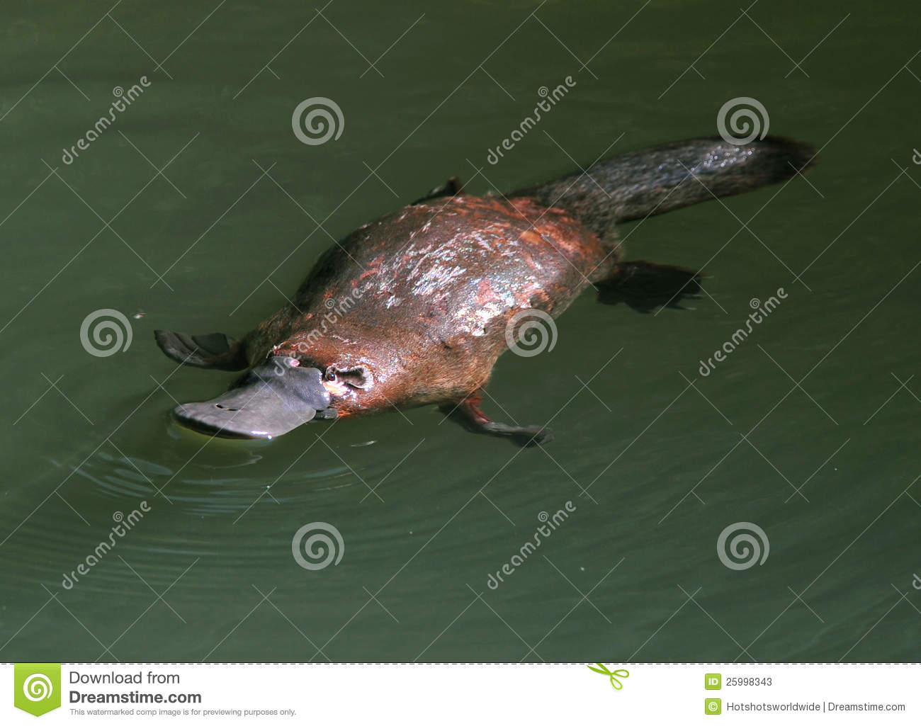 Download Elusive Australian Duck Billed Platypus,queensland Stock Image - Image of aquatic, duck: 25998343