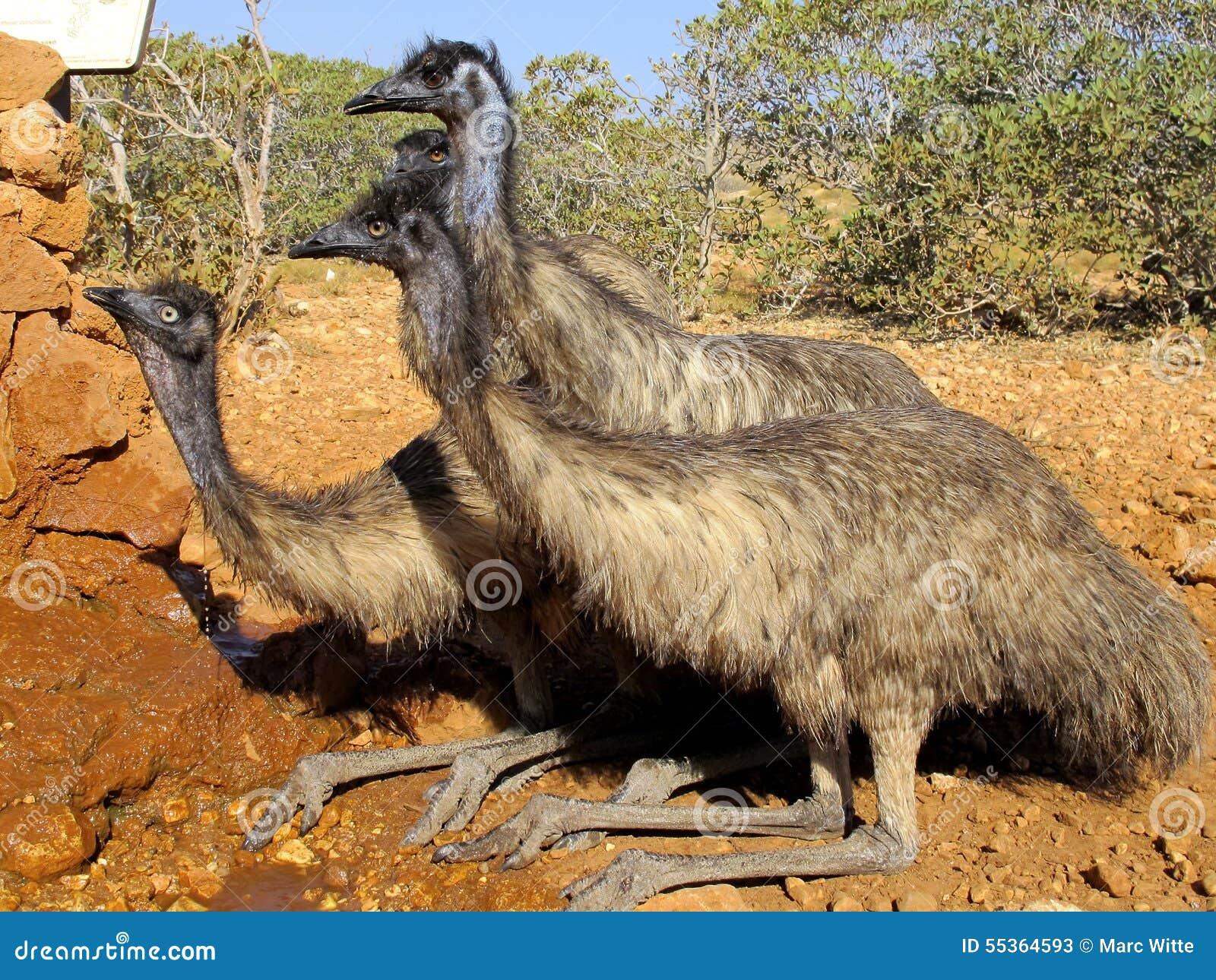Emù, Australia