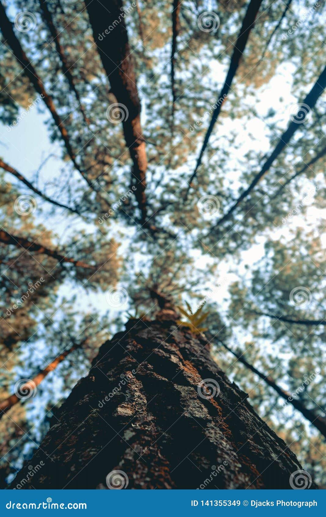 Em linha reta, as florestas estendidos, o sol da manhã penetraram as árvores