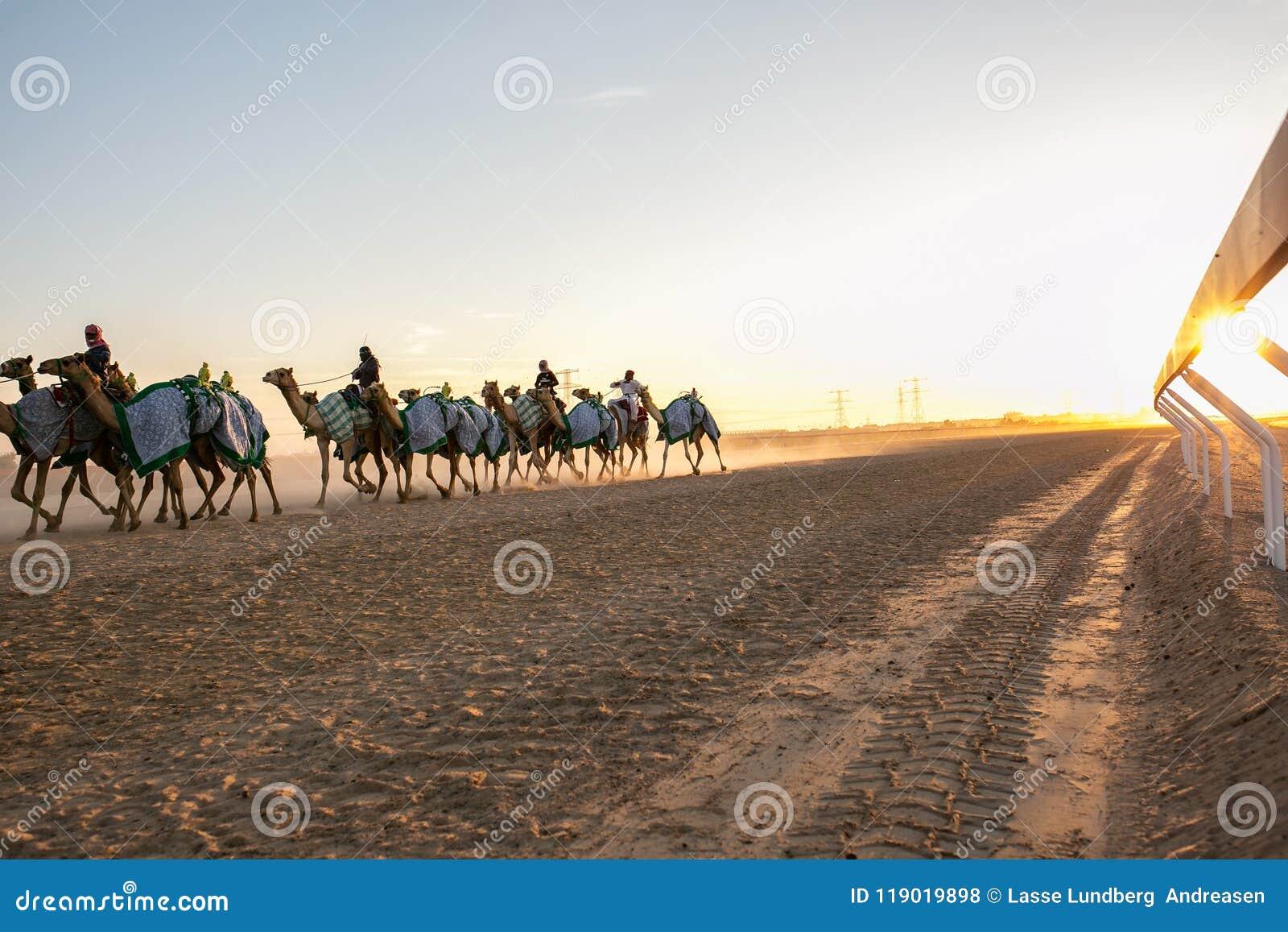 Emballage des chameaux en Abu Dhabi