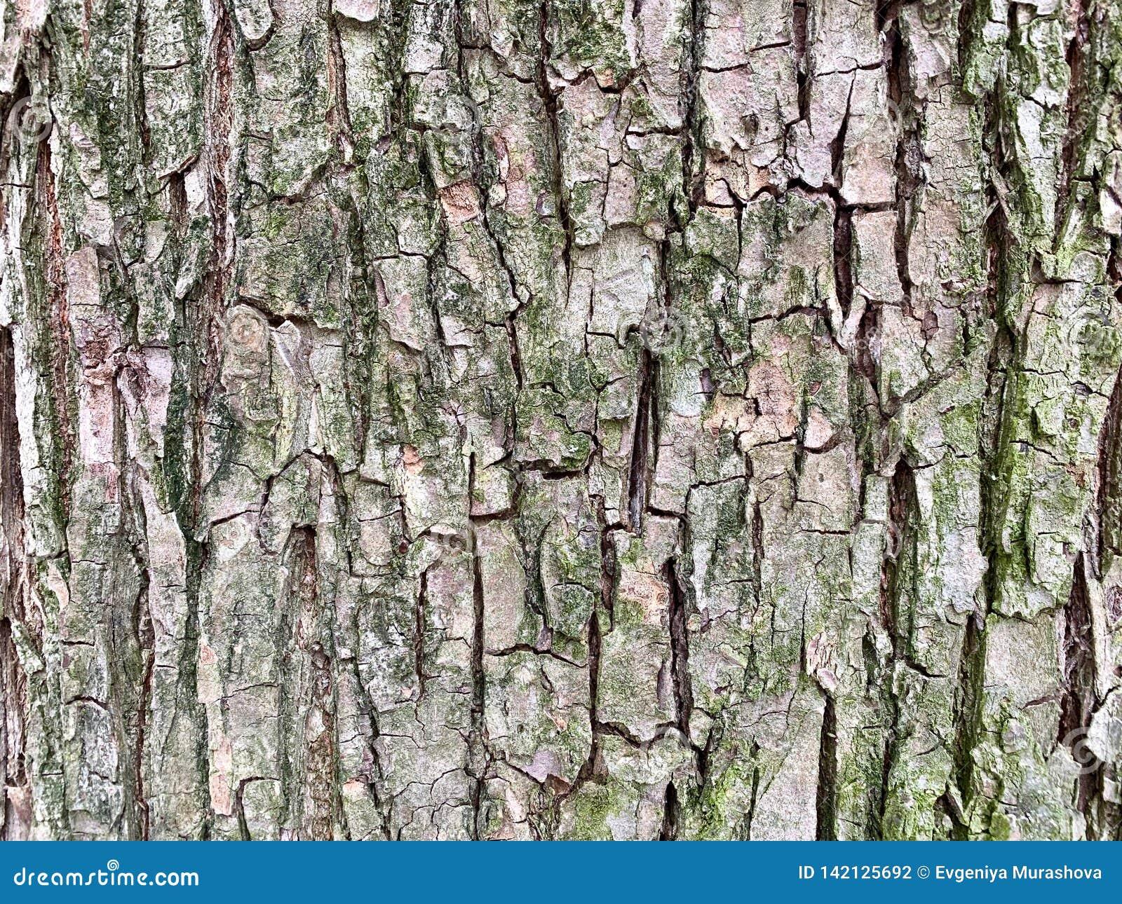 Texture of tree bark, a little green moss.