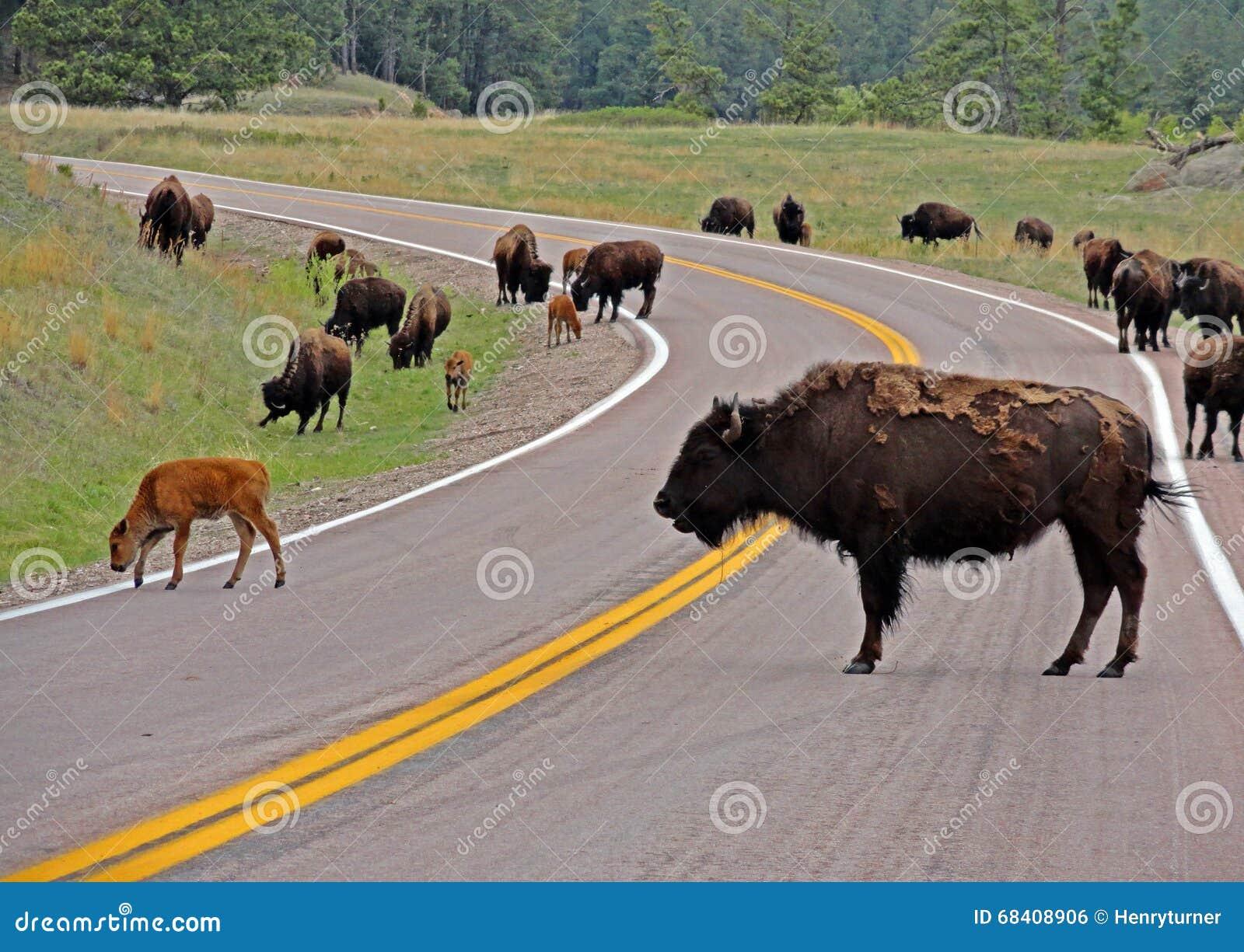 Embouteillage de Bison Buffalo Herd en Custer State Park
