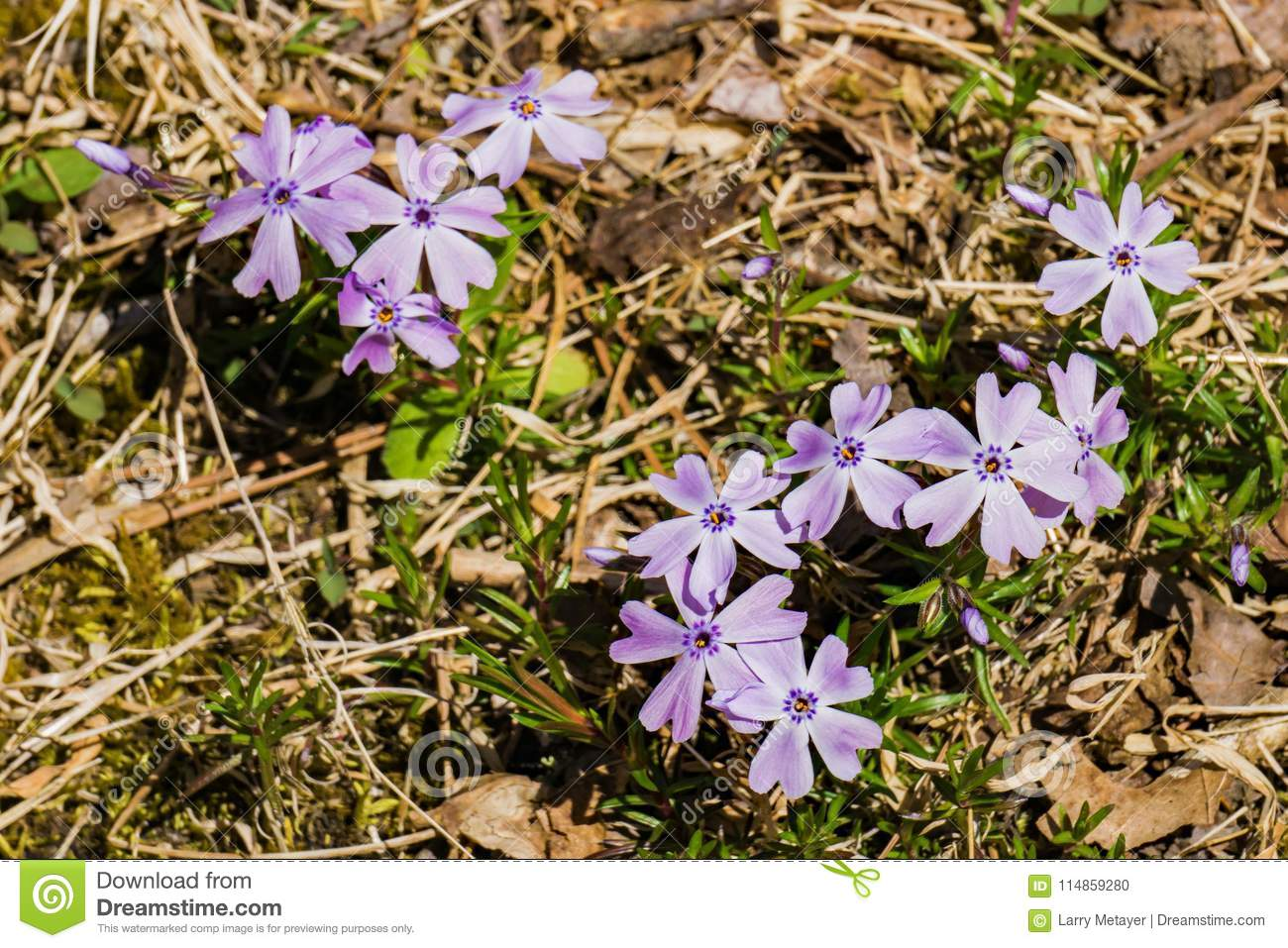 Emerald Blue Creeping Phlox Phlox Subulata Stock Photo Image Of