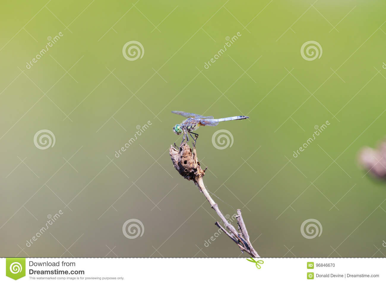 Emerald dragonfly perched on a twig at the Bald Knob National Wildlife Refuge in Bald Knob