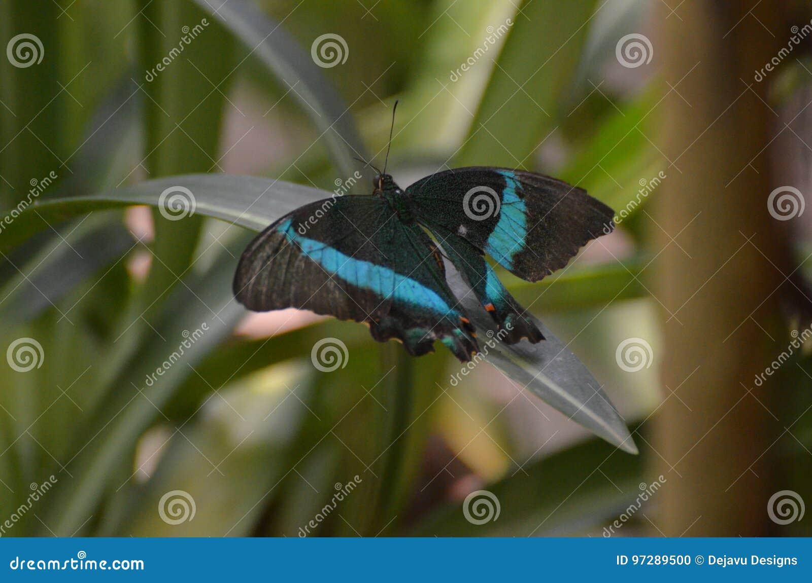 Emerald Swallowtail Butterfly pequeno impressionante na natureza