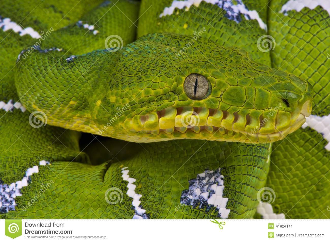 Emerald Tree Boa / Corallus Caninus Stock Image - Image of ...