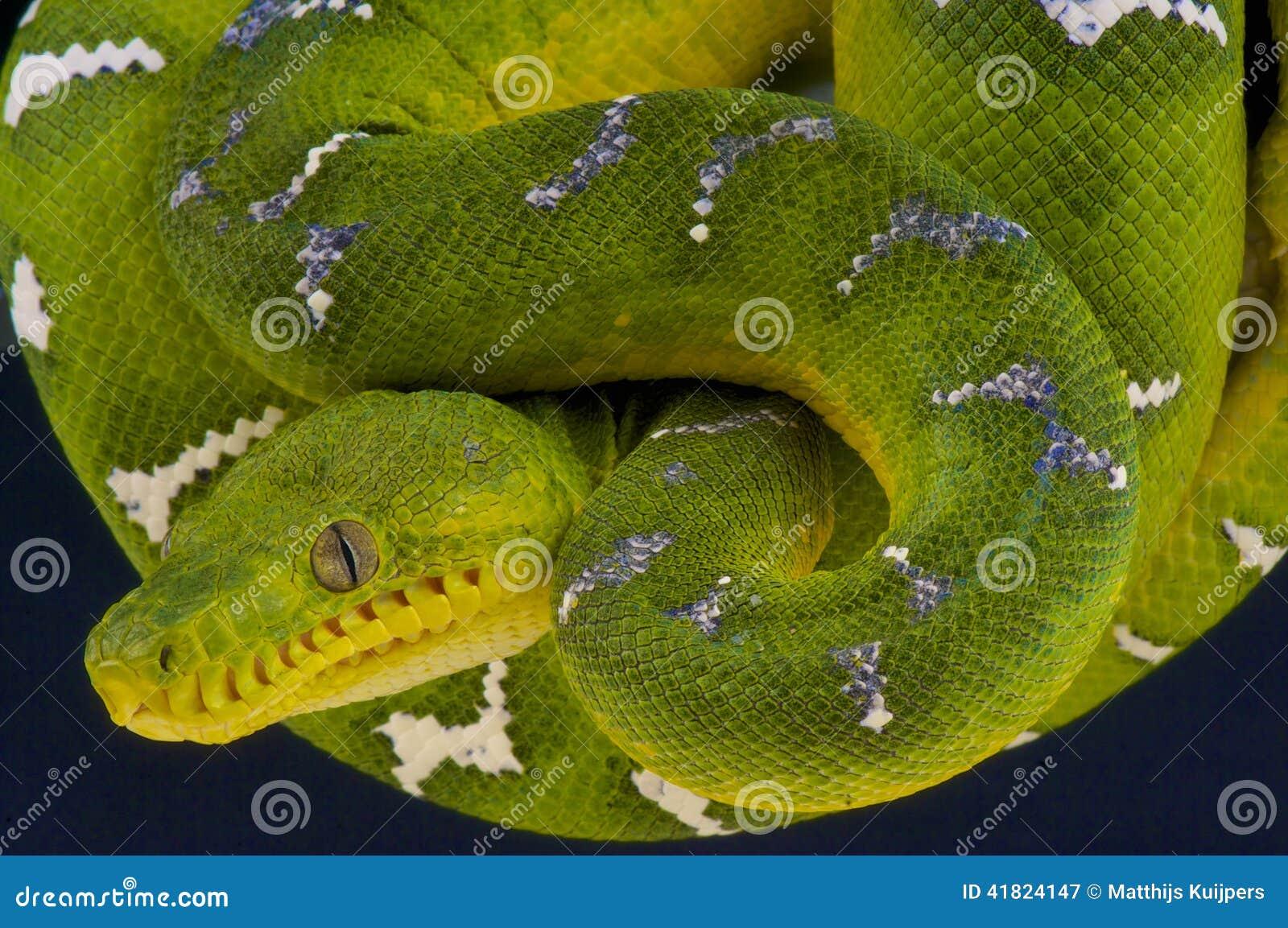 Emerald Tree Boa / Corallus Caninus Stock Image - Image of bright ...