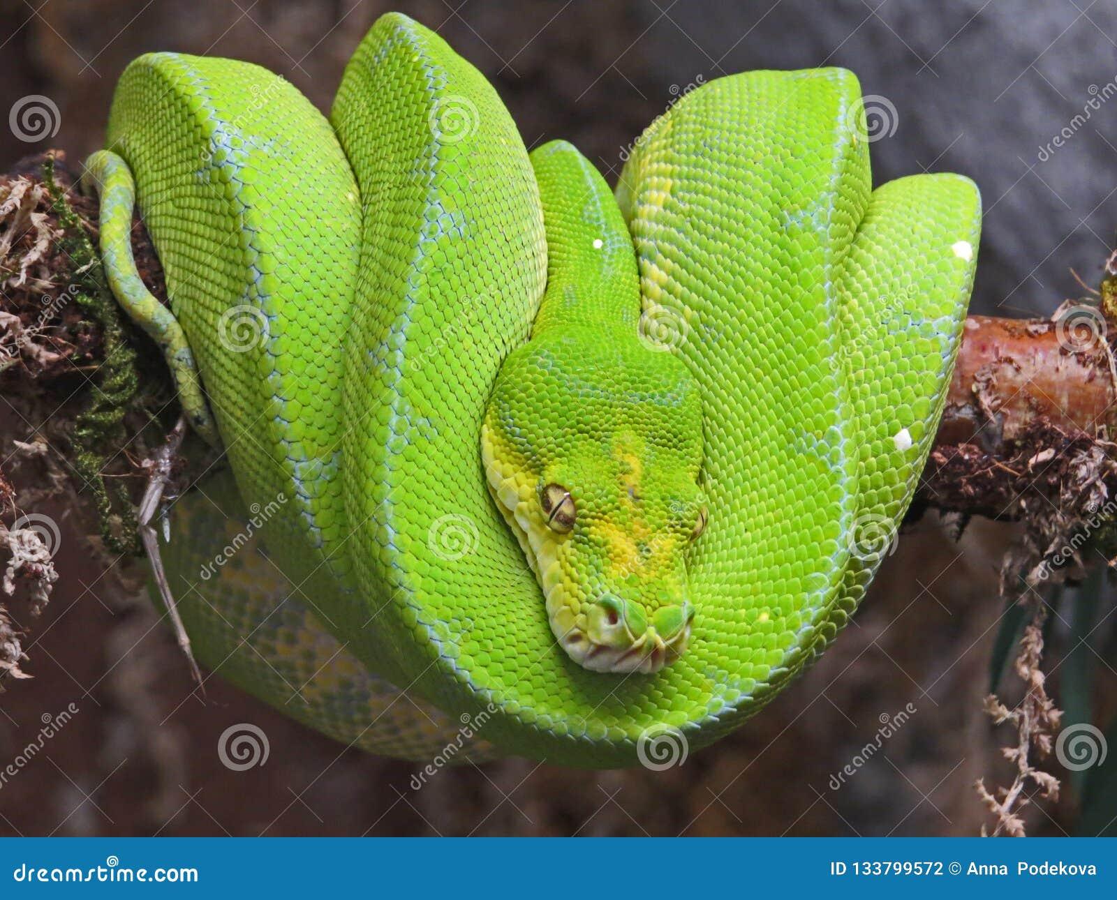 Emerald Tree Boa från Sydamerika Exotisk orm som slås in i en boll