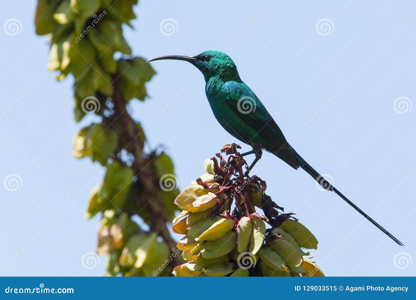 Emeraldhoningzuiger, Malachite Sunbird, Nectarinia famosa