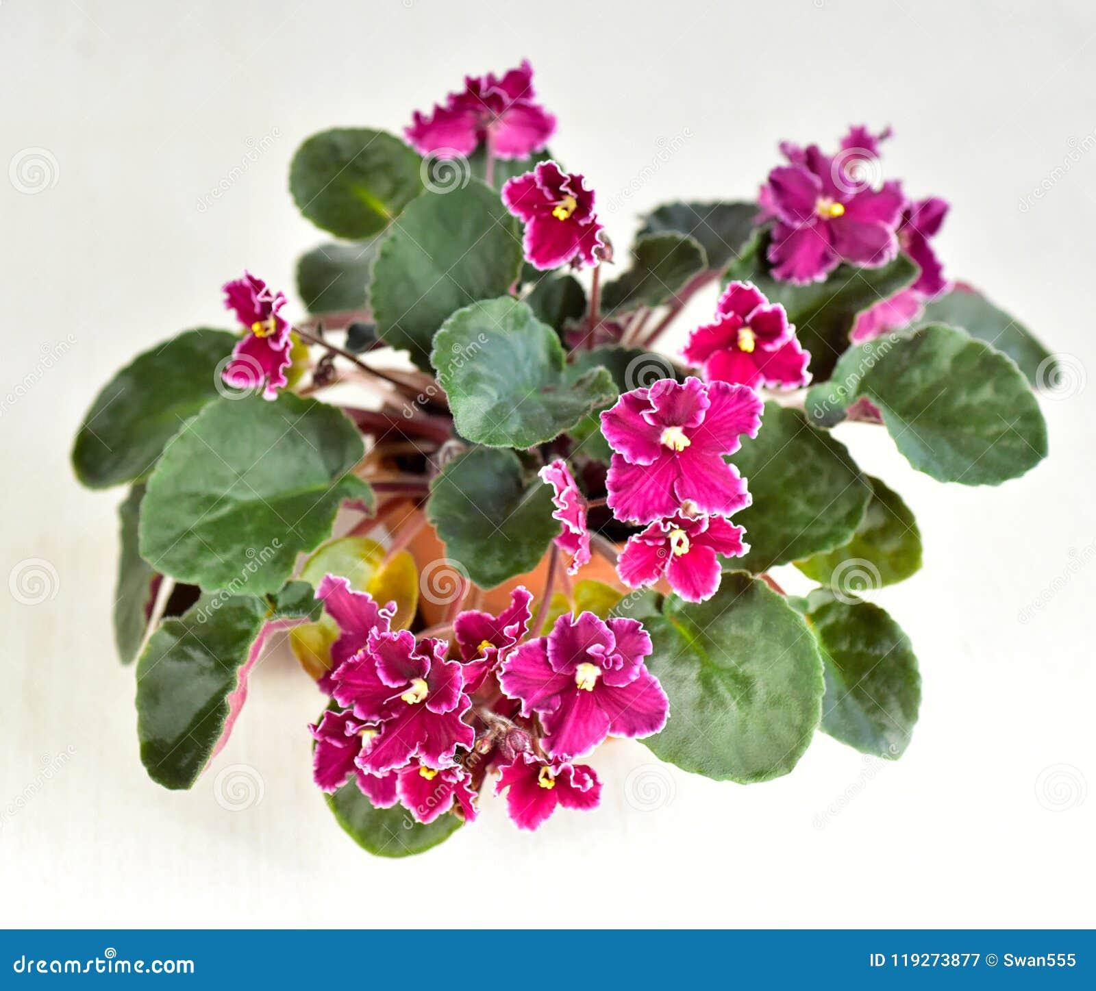 Emergência da variedade de planta da violeta africana