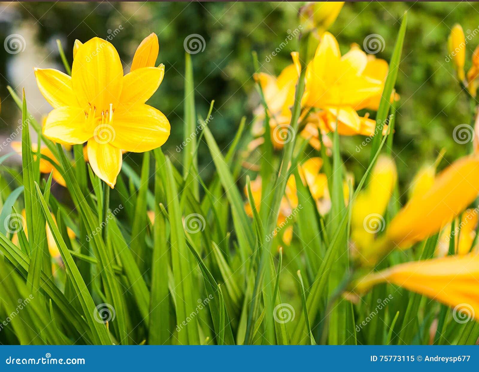 emerocallidi gialli (middendofii di hemerocallis) che fioriscono ... - Un Piccolo Giardino Fragrante