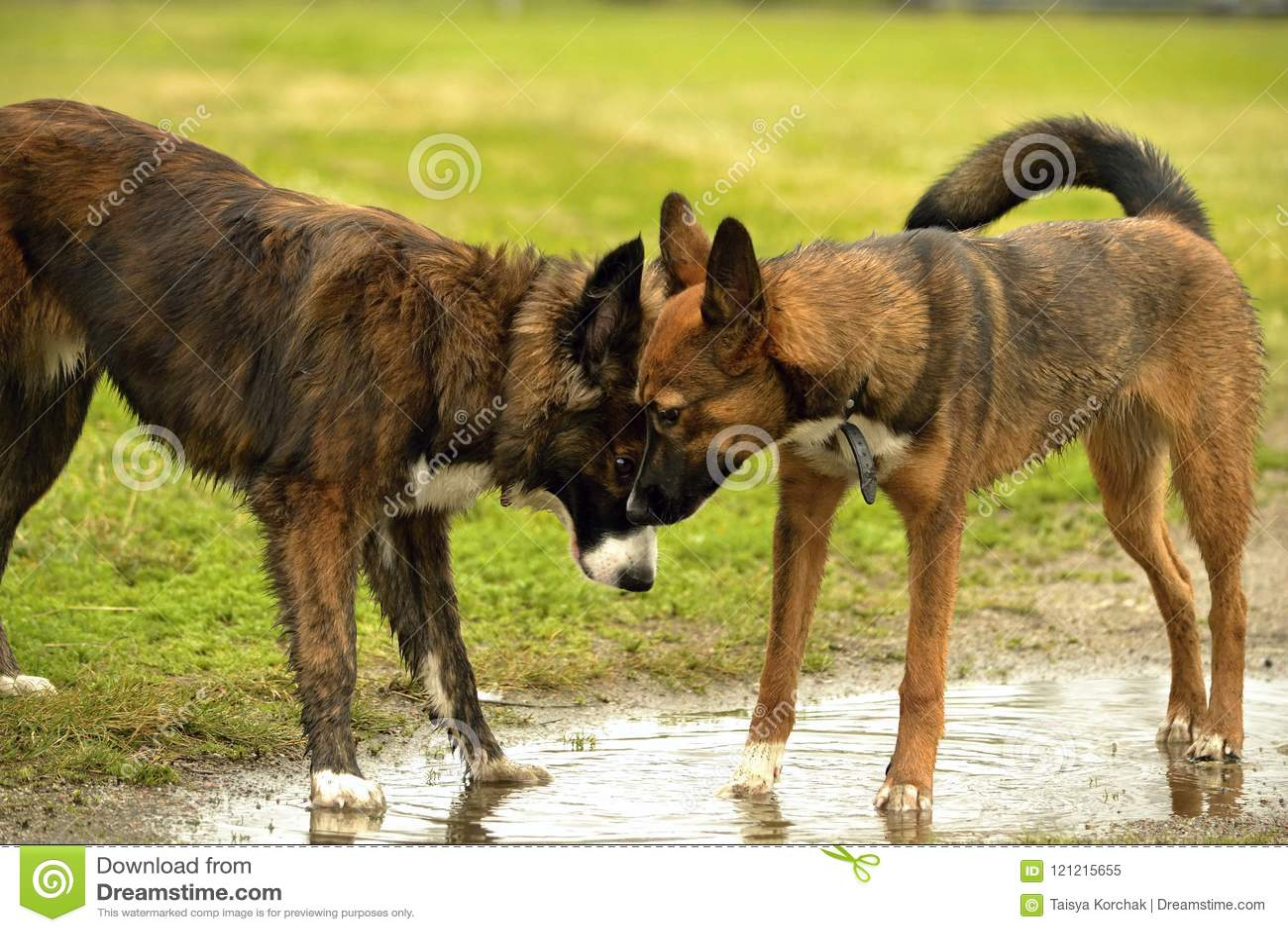 Emociones de animales Dos perros jovenes son amigos Interacción entre los perros Aspectos del comportamiento de animales