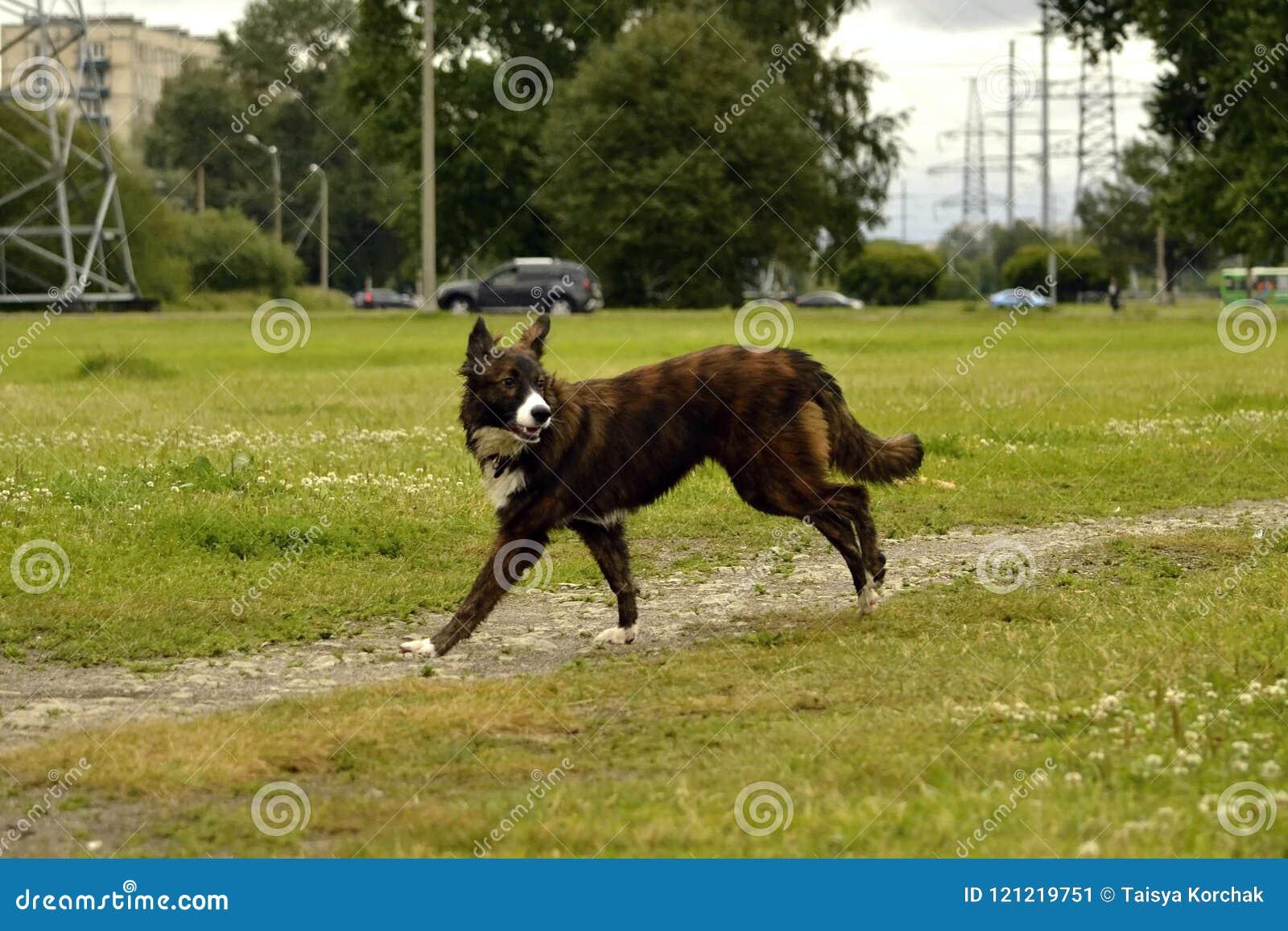 Emociones de animales Perro enérgico joven en un paseo Educación de los perritos, cynology, entrenamiento intensivo de perros jov