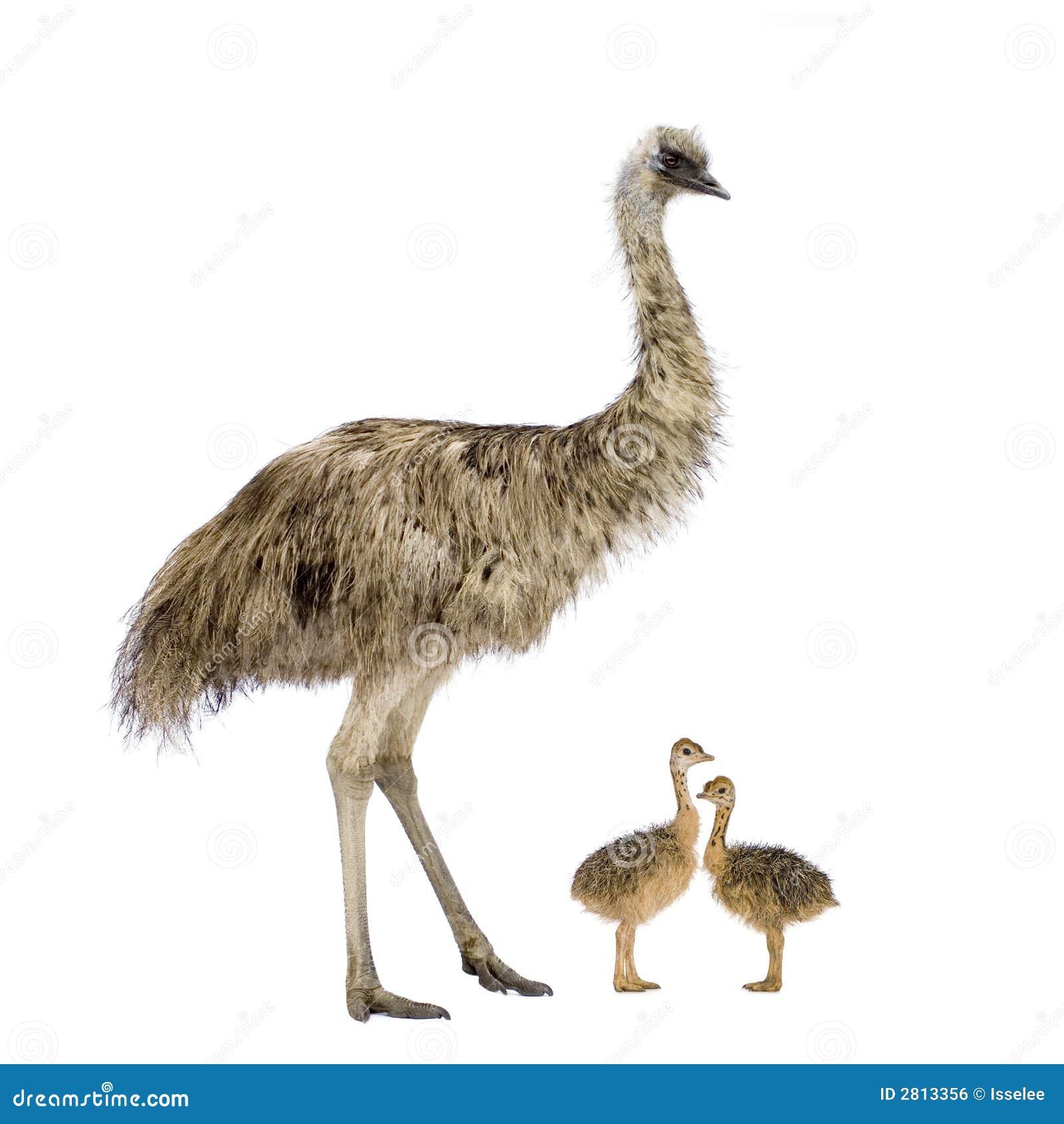 Emoe en haar kuikens