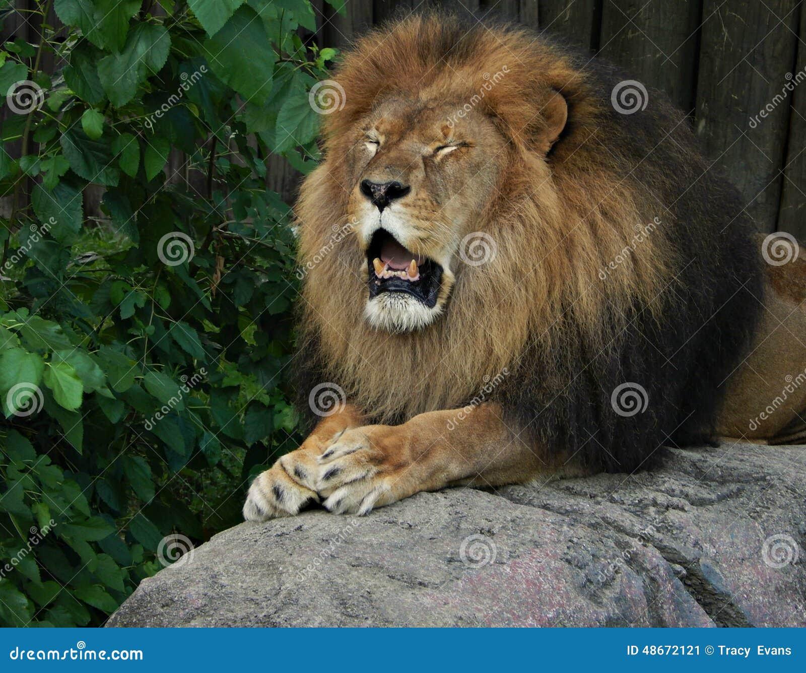emotional lion stock photo
