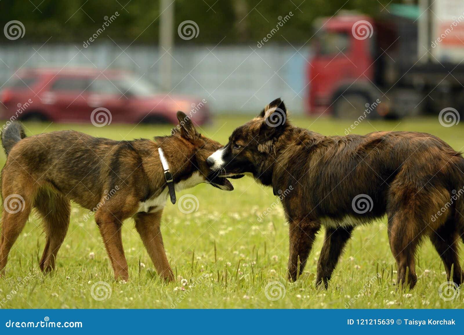 Emozioni degli animali Due giovani cani sono amici Interazione fra i cani Aspetti comportamentistici degli animali