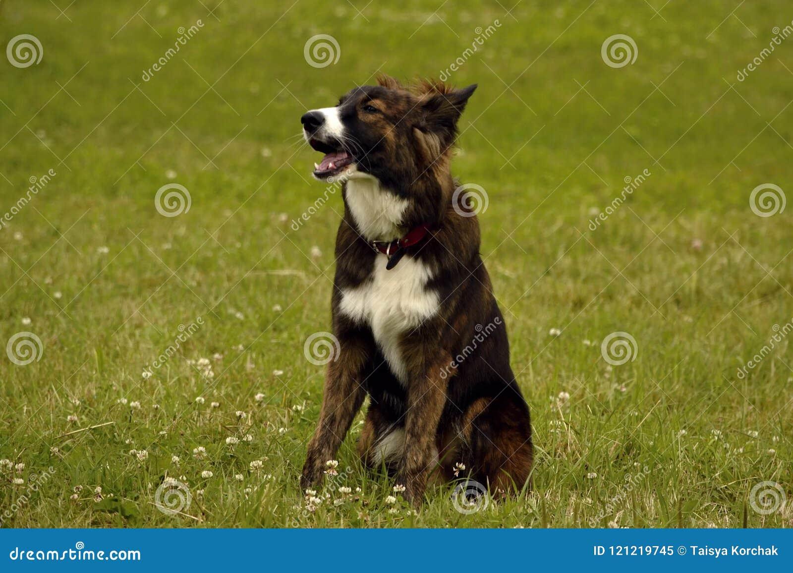 Emozioni degli animali Giovane cane energetico su una passeggiata Istruzione dei cuccioli, cynology, addestramento intensivo di g