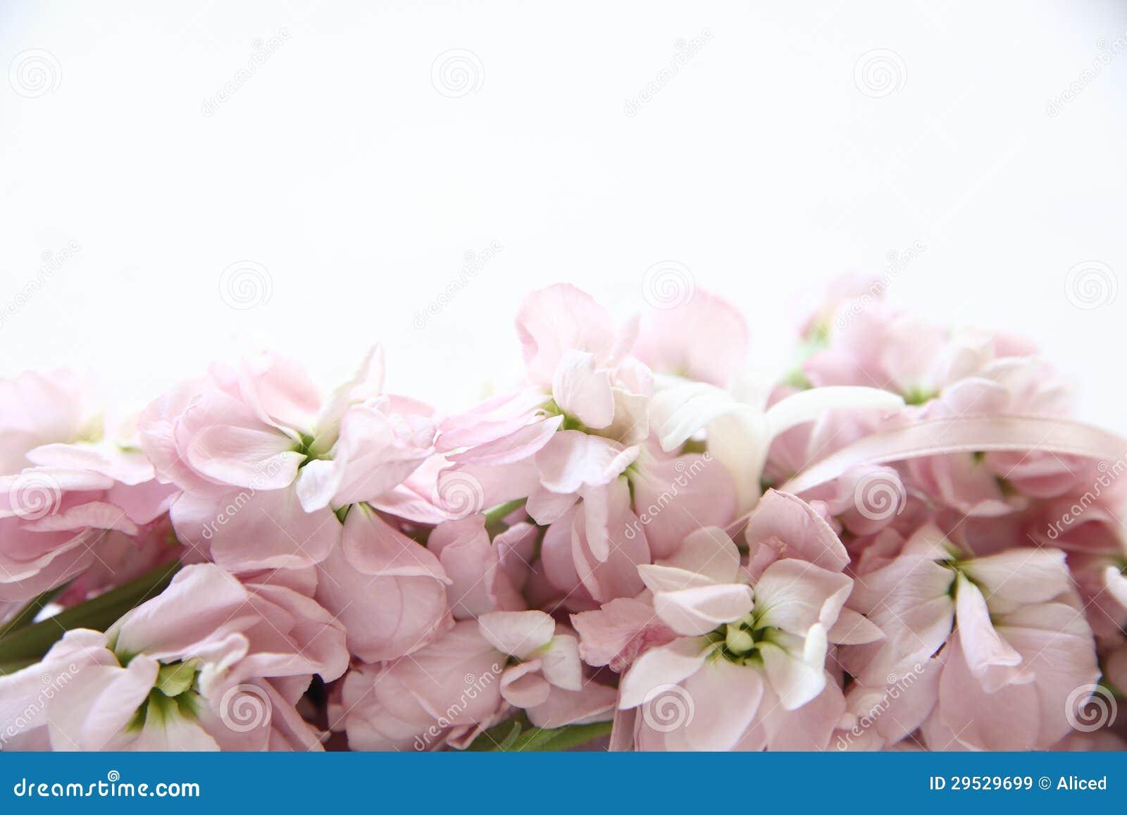 Empalideça - as flores conservadas em estoque cor-de-rosa