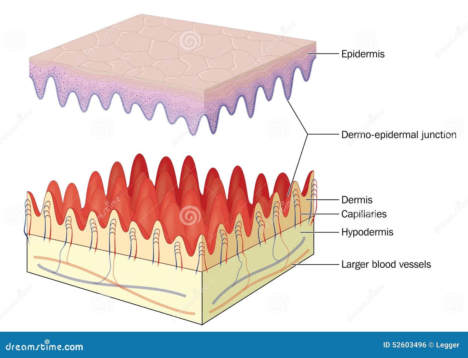 Empalme cutáneo epidérmico de la piel