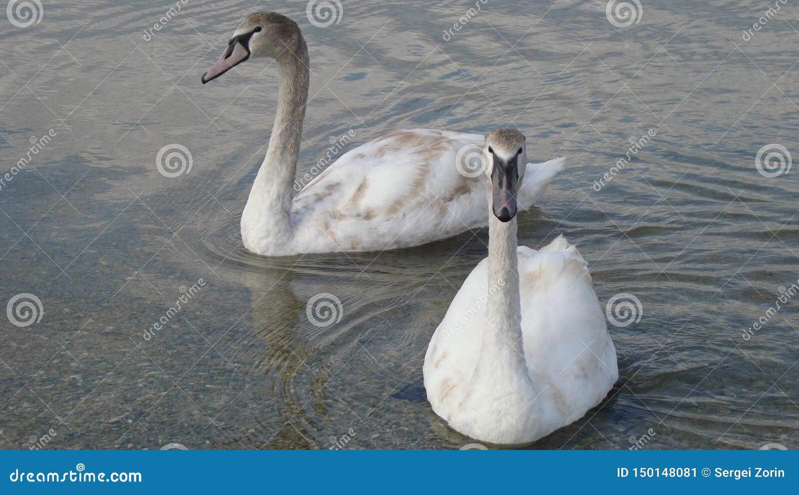 Emparéjese de cisnes en un agua cristalina y tranquila del cierre del lago para arriba