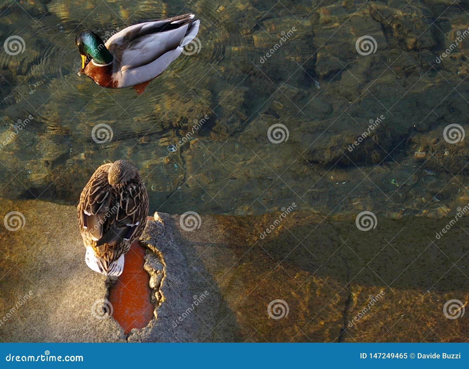 Emparéjese de los patos silvestres, patos, relájese en el lago
