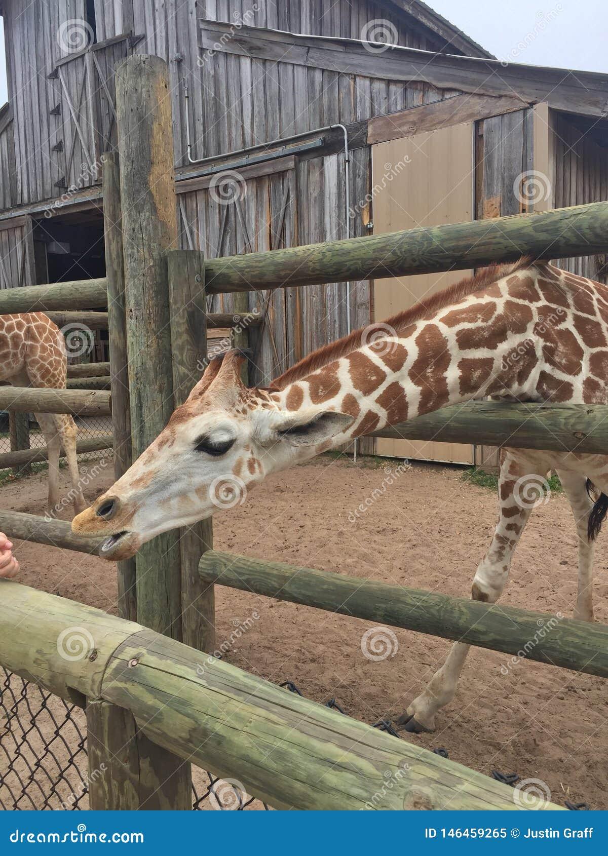 Empar?jese de jirafas en una pluma de madera que es alimentada lechuga con la cabeza que se acerca a la gran naturaleza de la c?m