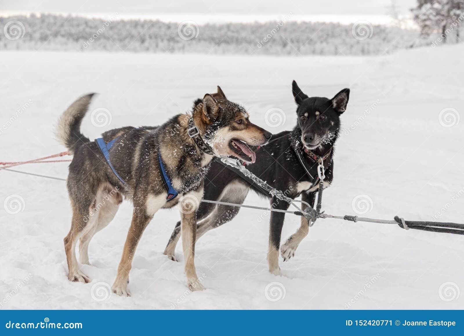 Emparelhe dos cães de puxar trenós que esperam para correr e puxar um trenó