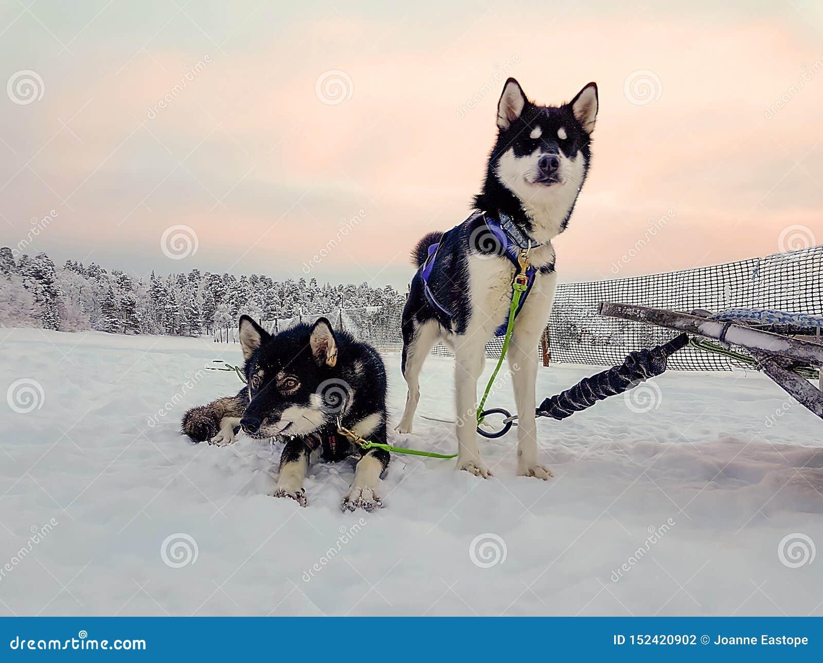 Emparelhe dos cães de puxar trenós que esperam para correr no por do sol e para puxar um trenó