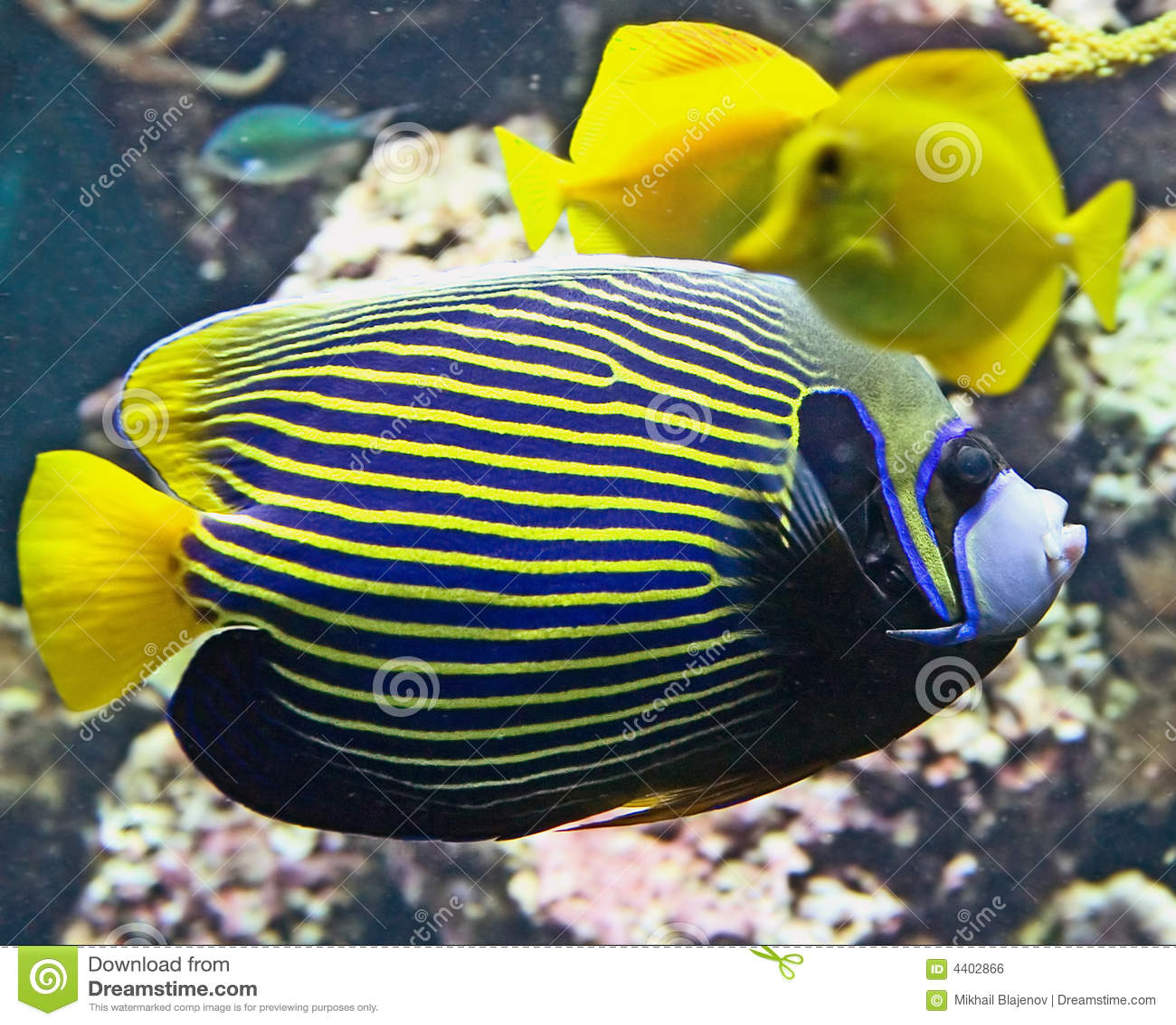 Emperor angelfish 3
