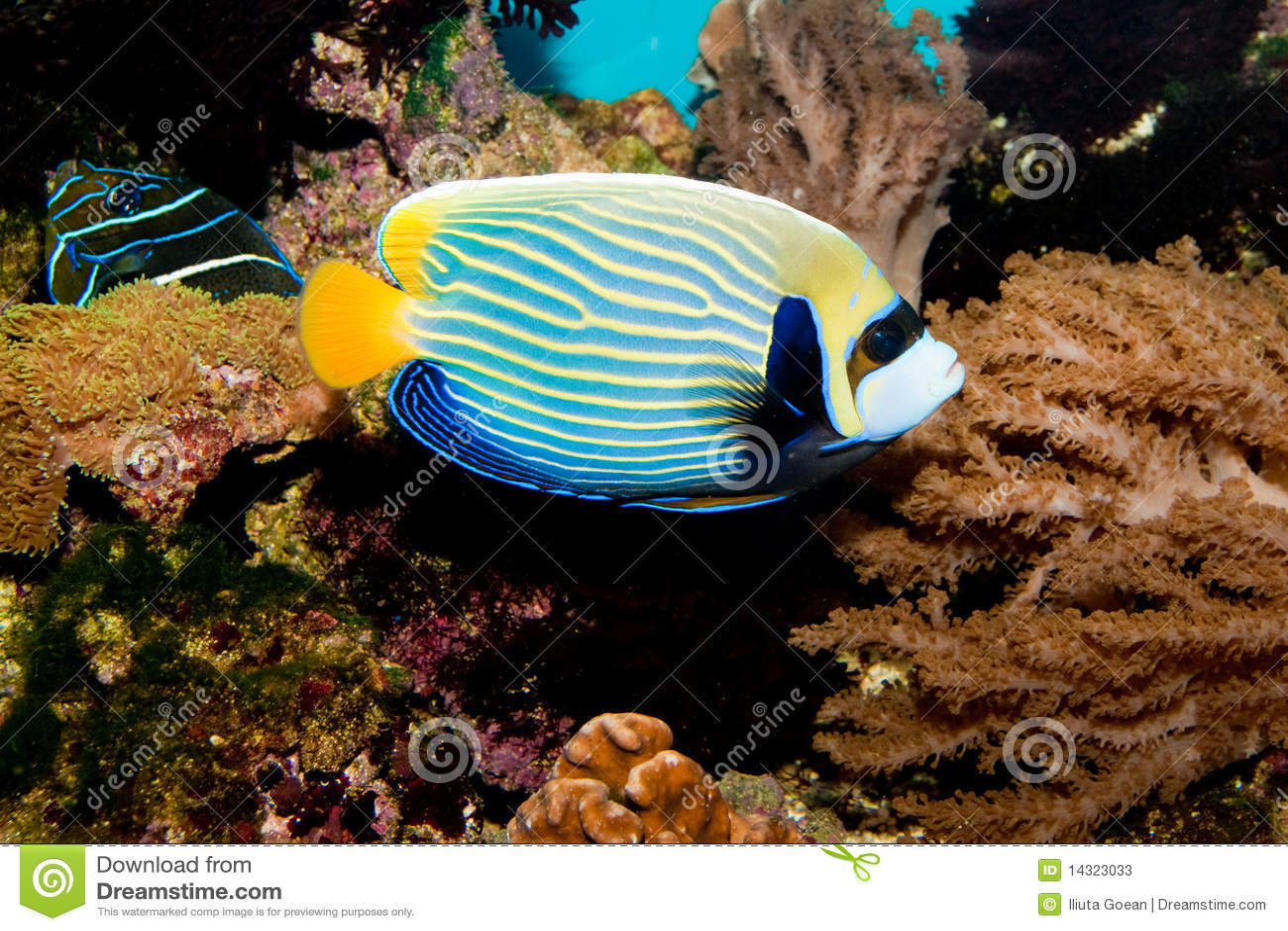 emperor angelfish in aquarium stock photos   image 14323033