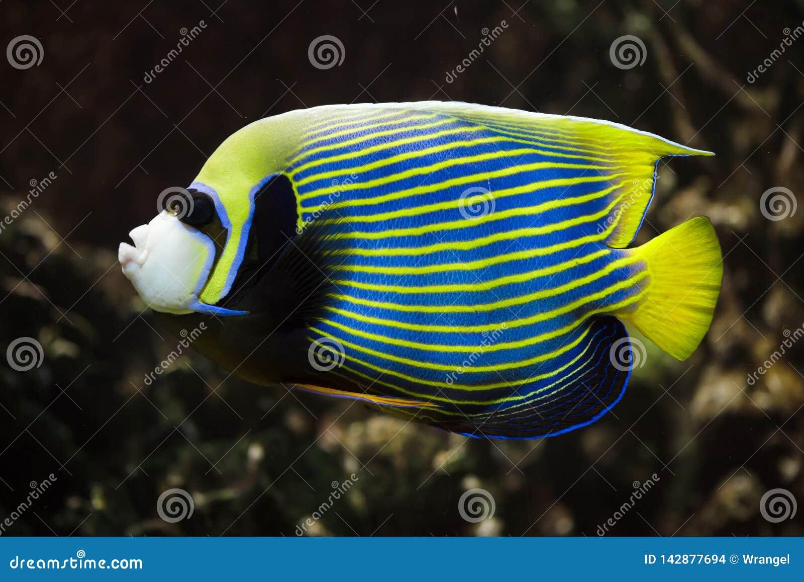 Emperor angelfish Pomacanthus imperator