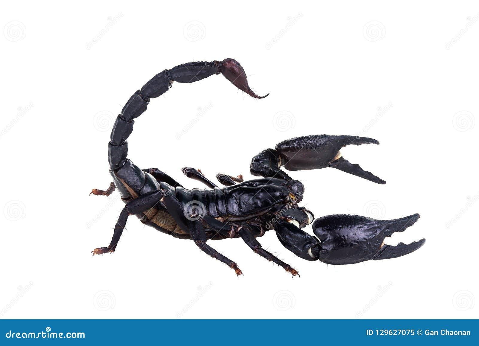 Emperor Scorpion, Pandinus imperator, of white background.