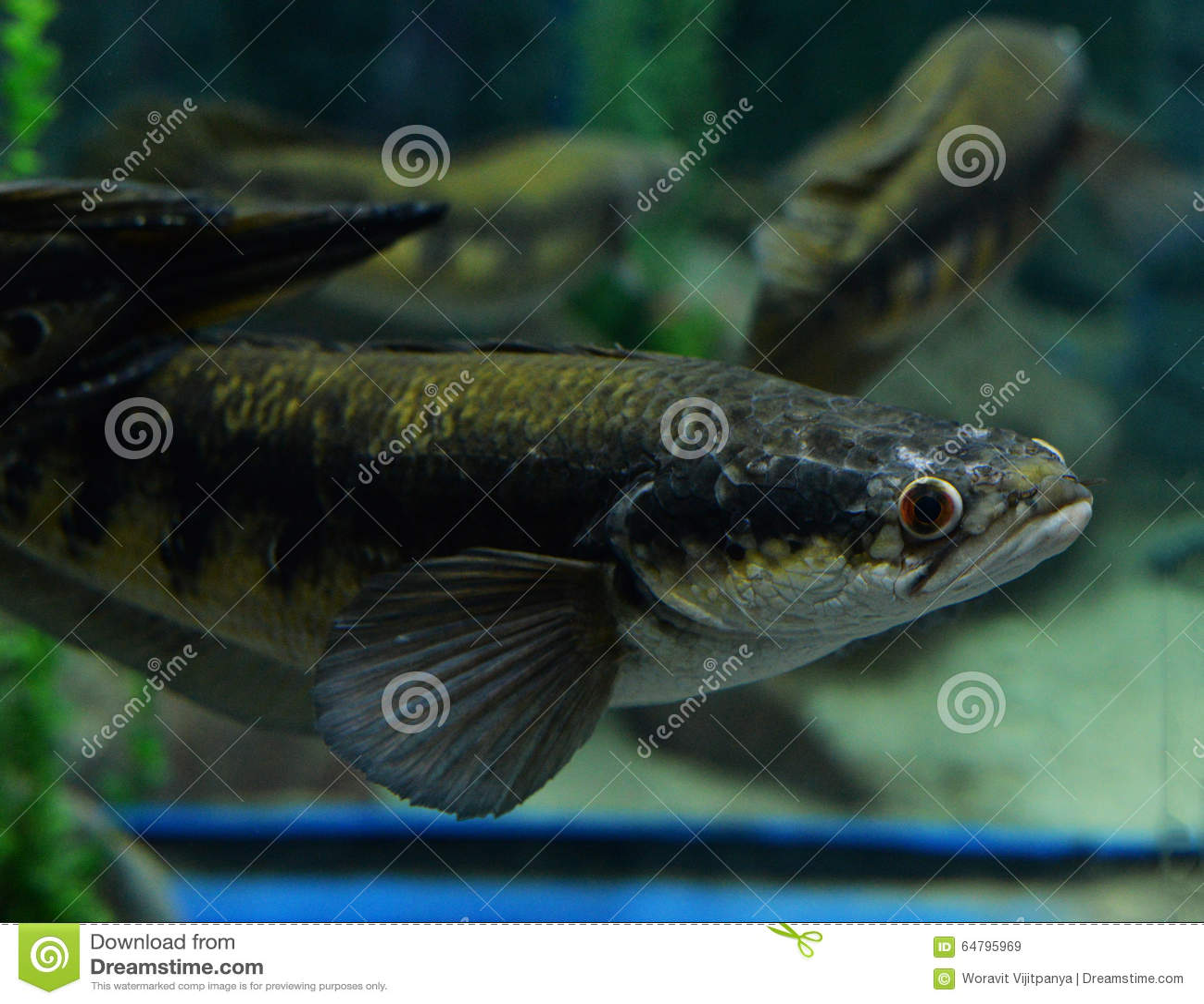 Emperor Snake Head Fish Stock Image Image Of Beautiful 64795969