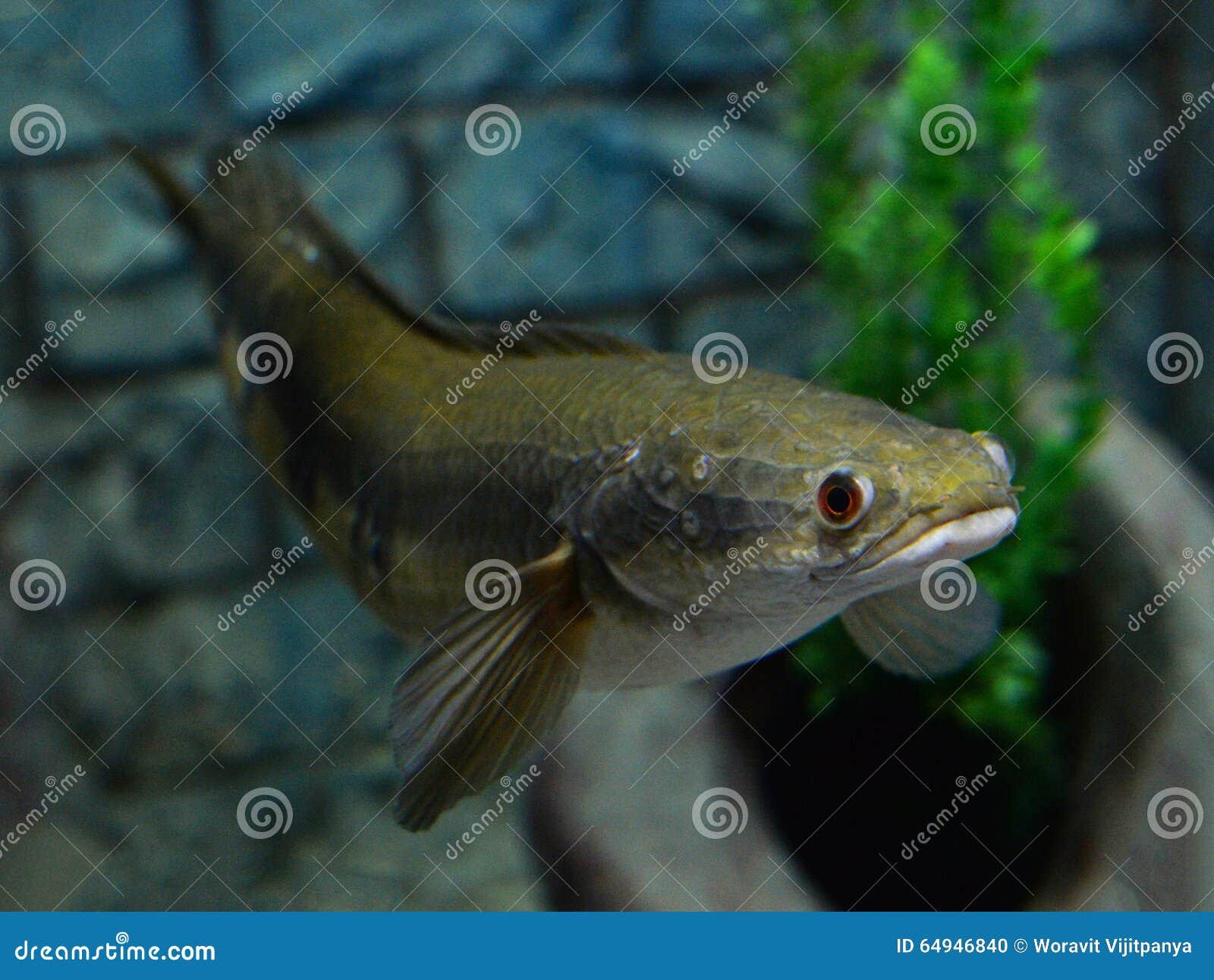 Emperor Snake Head Fish Stock Photo Image Of Design 64946840