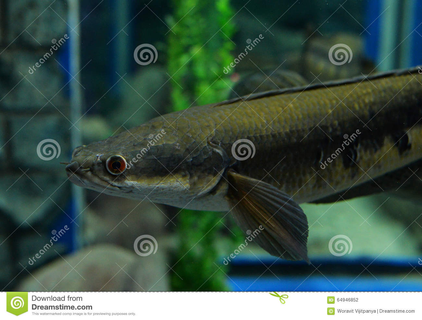 Emperor Snake Head Fish Stock Photo Image Of Background 64946852