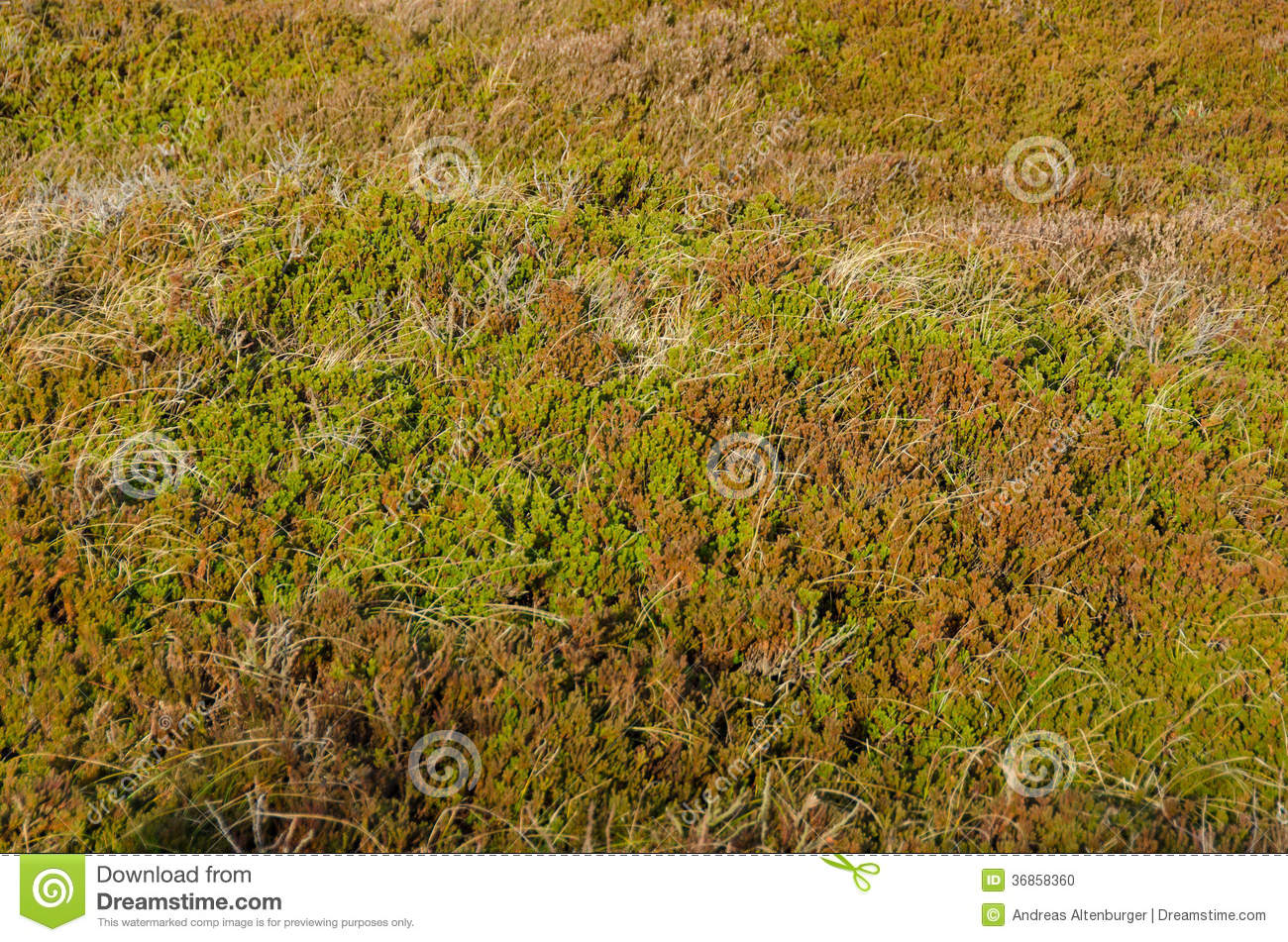 Empetrum or crowberry stock photo image 36858360 for Typical landscaping plants