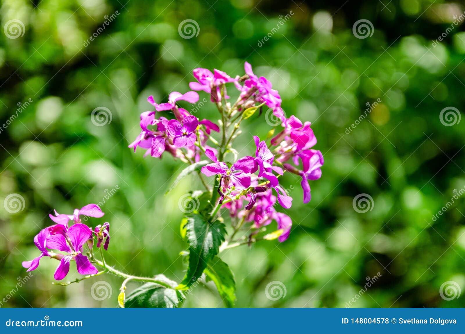 Empfindliche blühende rosa Blumen des Sommers